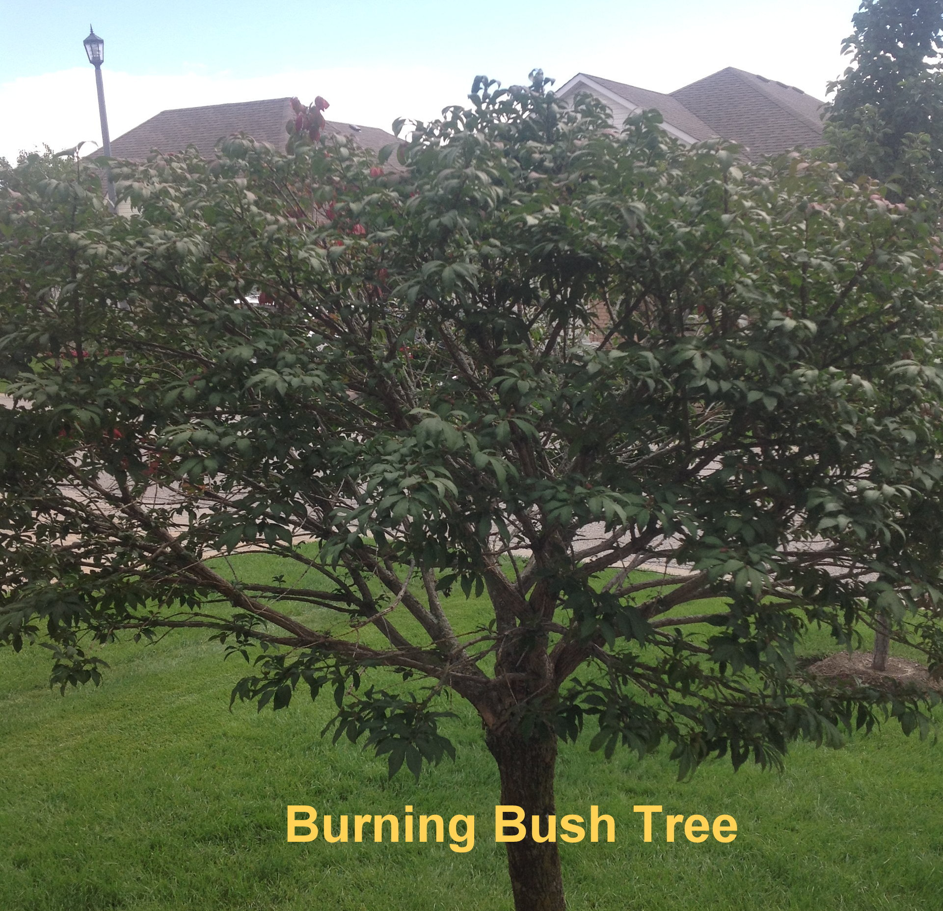 Pruning burning bush tree - Toronto Master Gardeners