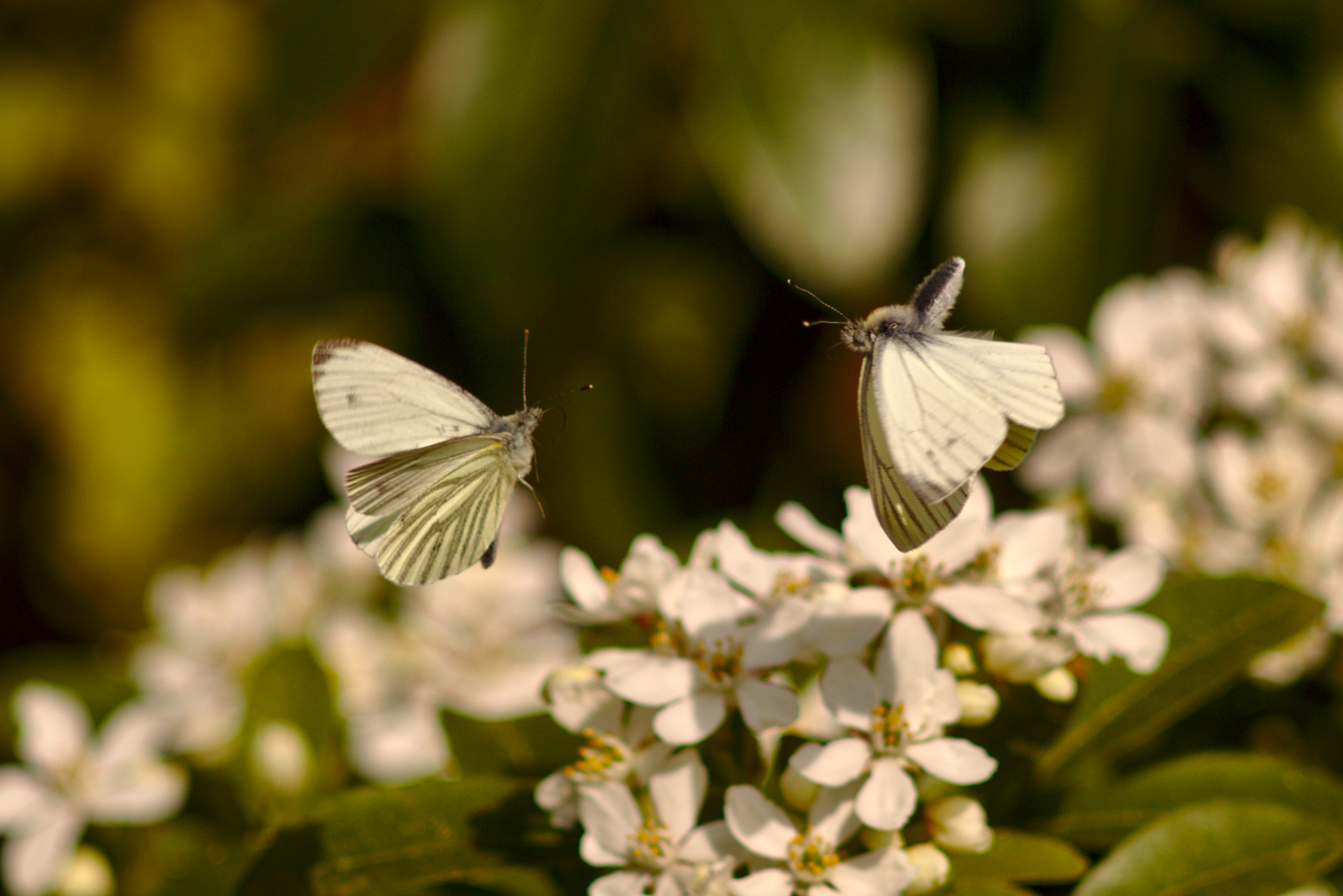 Butterflies in Flight, Butterflies, Depth of field, Fight, Flight, HQ Photo