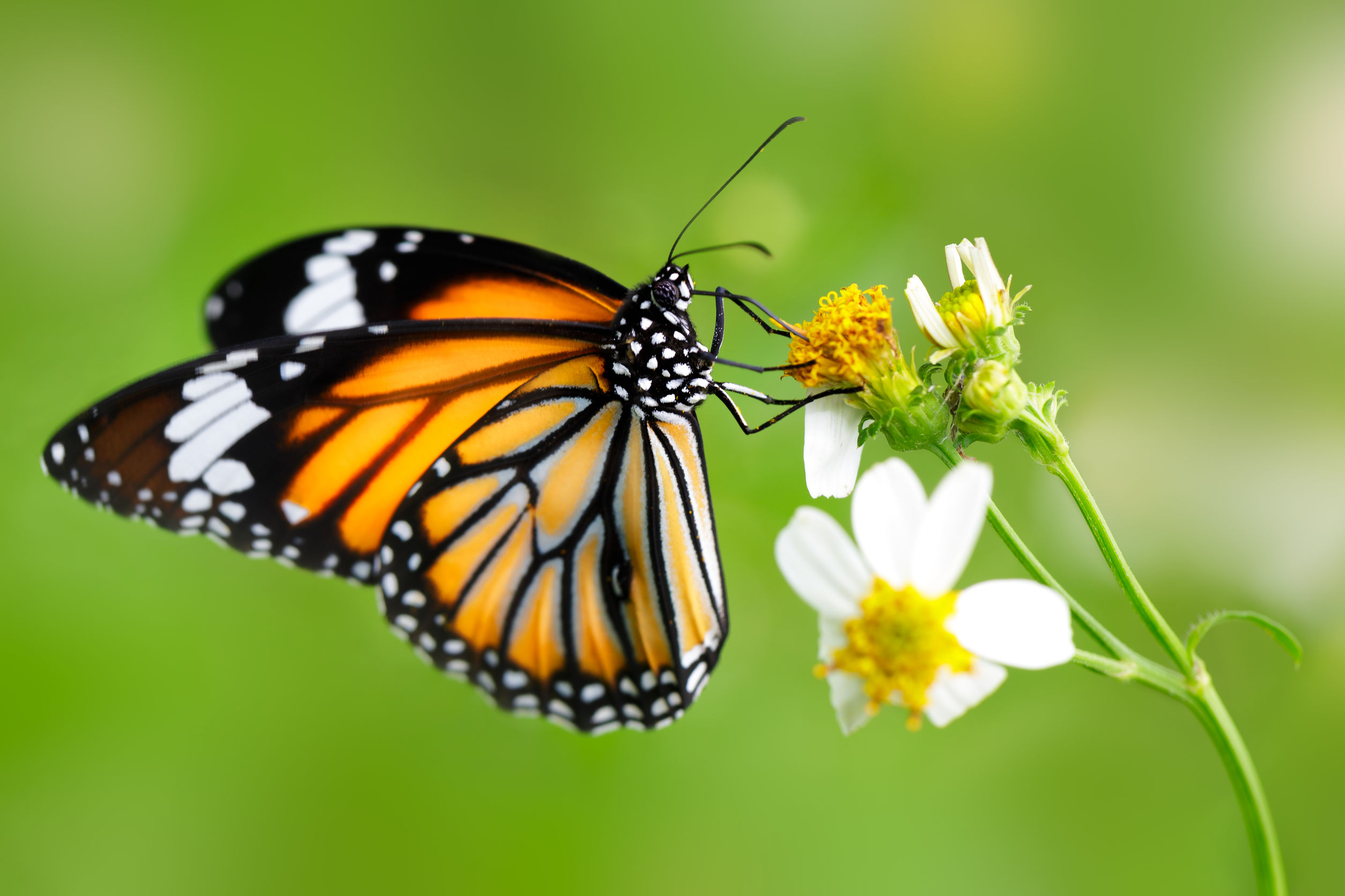 How you can help save the monarch butterfly | City of College Station