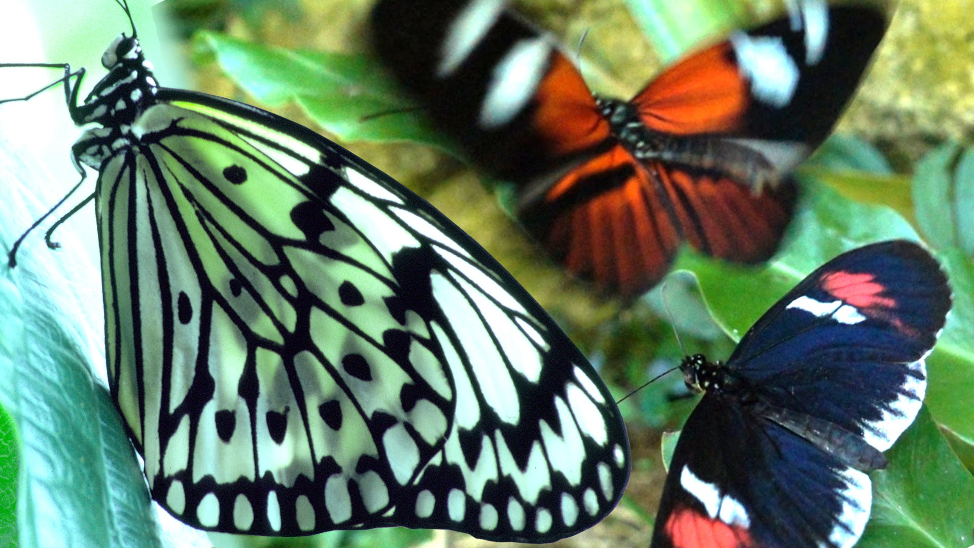 Butterflies Flying in Slow Motion HD - Houston Butterfly Museum ...
