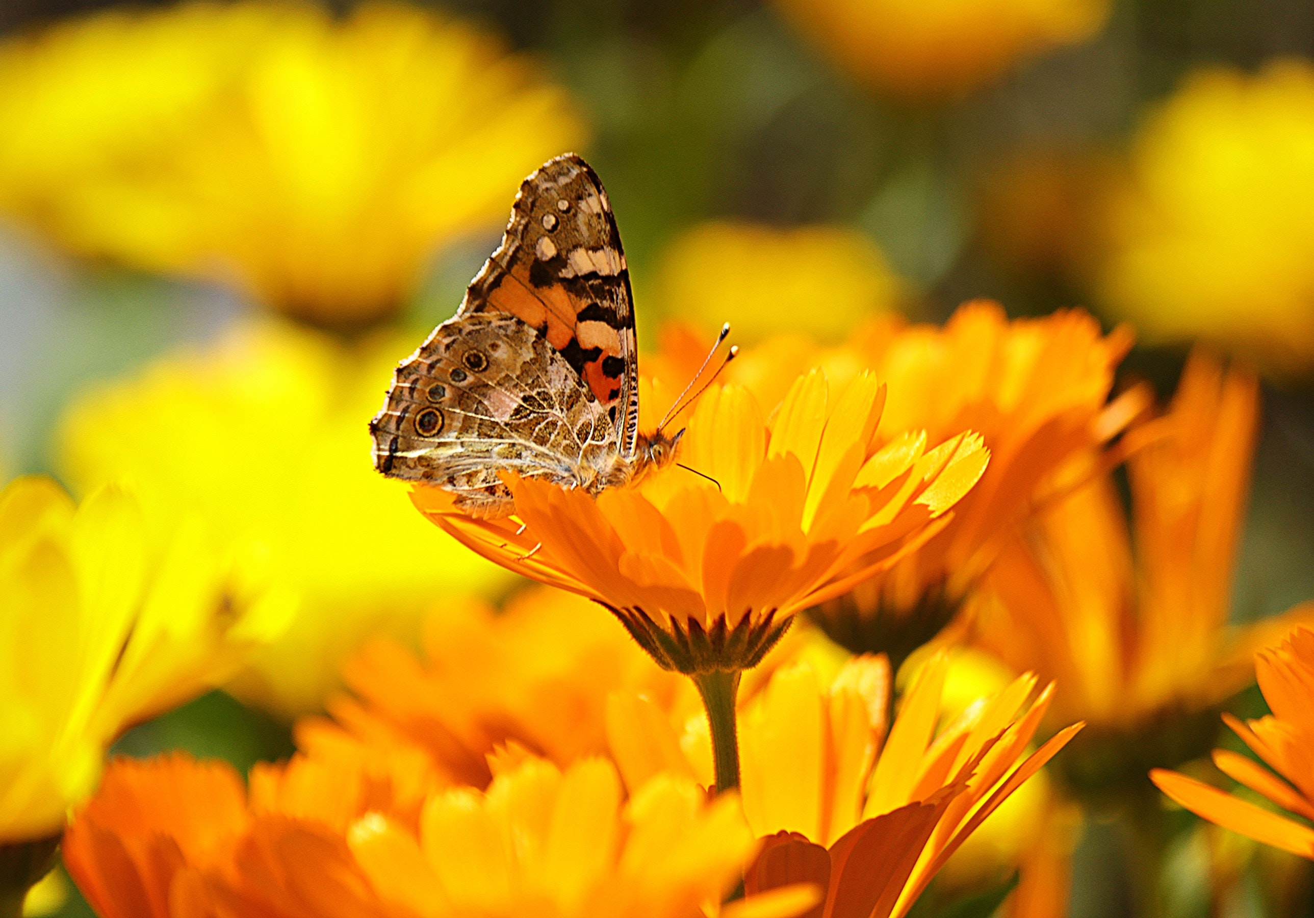 Butterfly Perched on the Yellow Petaled Flower during Daytime, Asteraceae, Blur, Butterfly, Calendula, HQ Photo