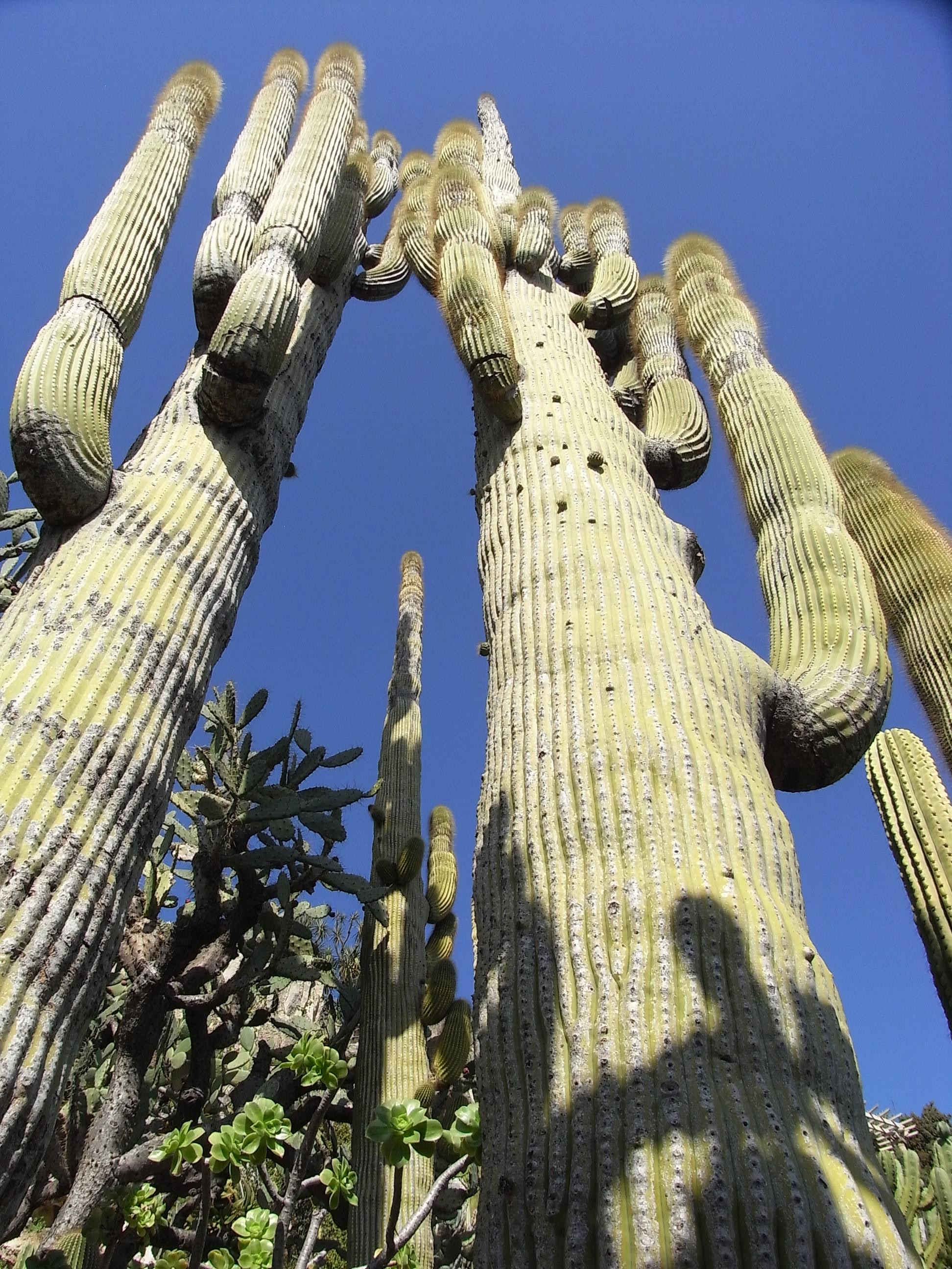 Cactus, Blue, Green, Tall, HQ Photo