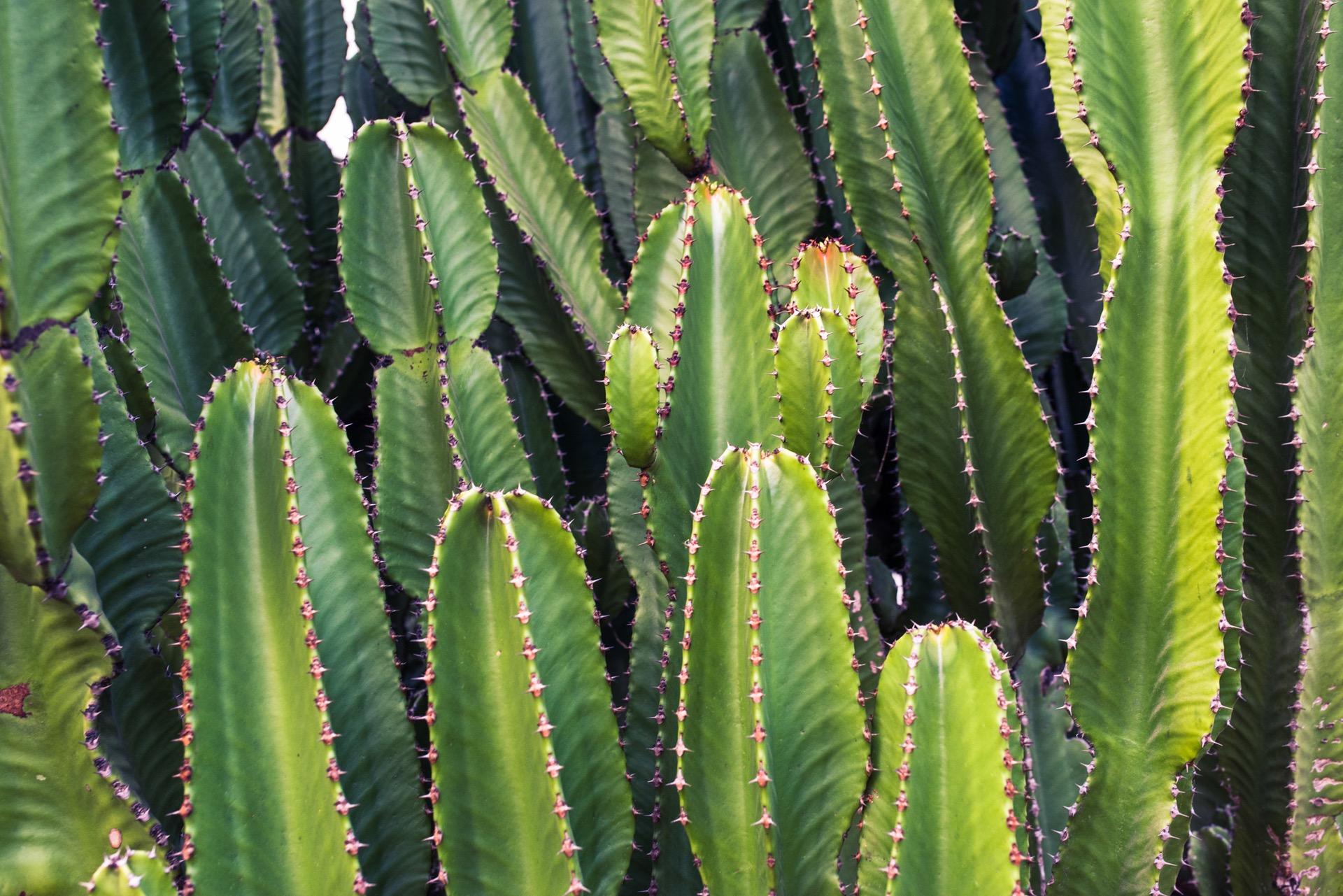 ผลการค้นหารูปภาพสำหรับ cactus
