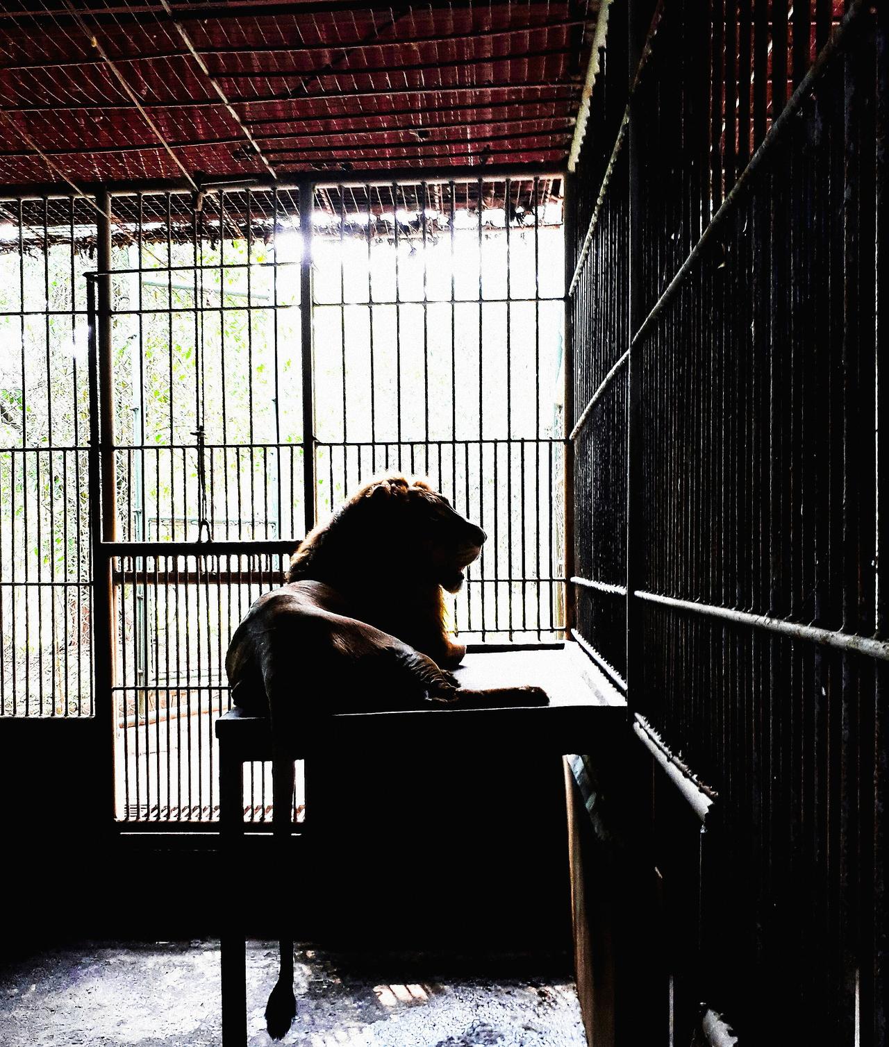 Foap.com: Caged King   jazmyn.bondoc, lion, king, silhouette stock ...