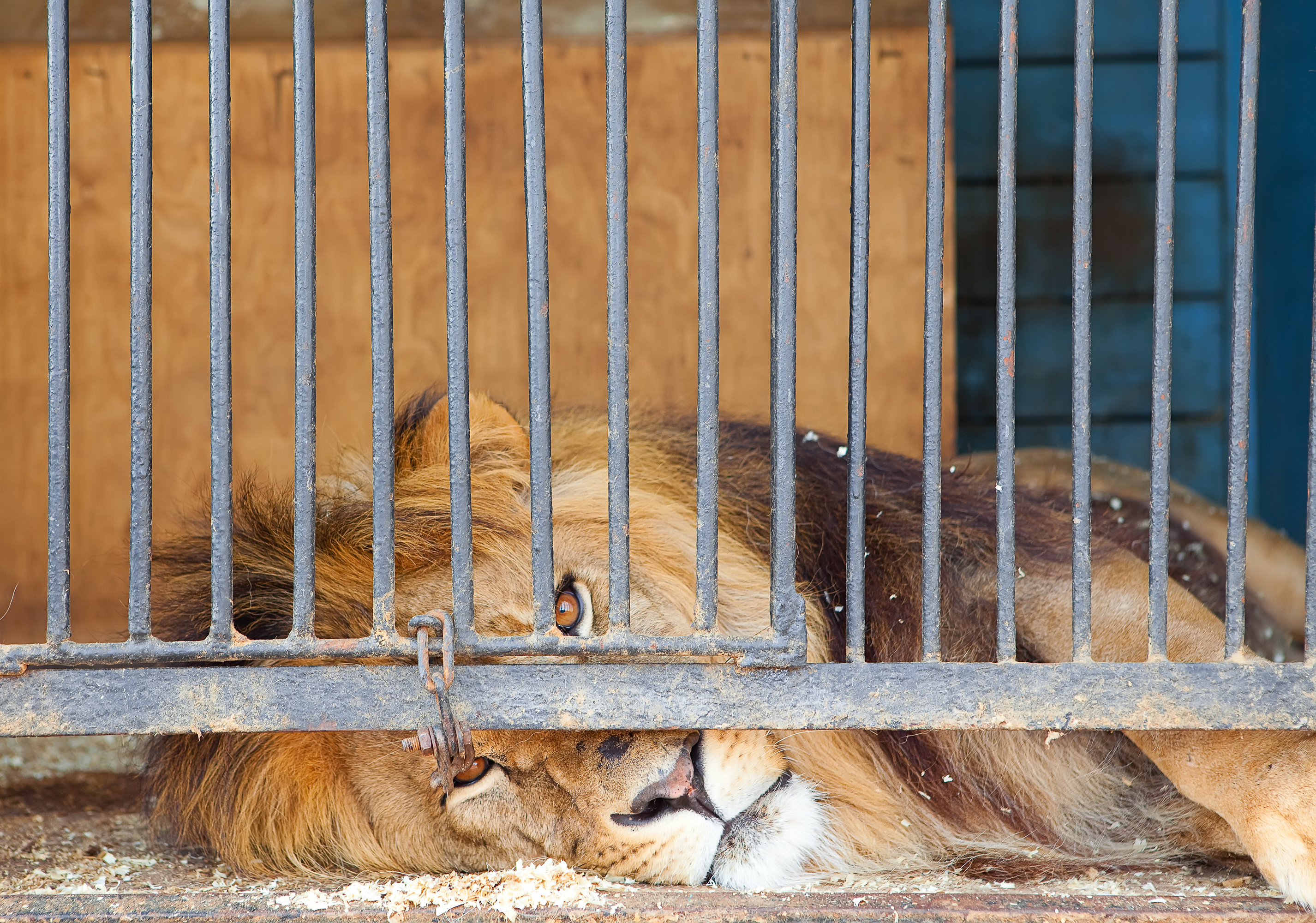 Caged King, Bars, Caged, Cat, King, HQ Photo