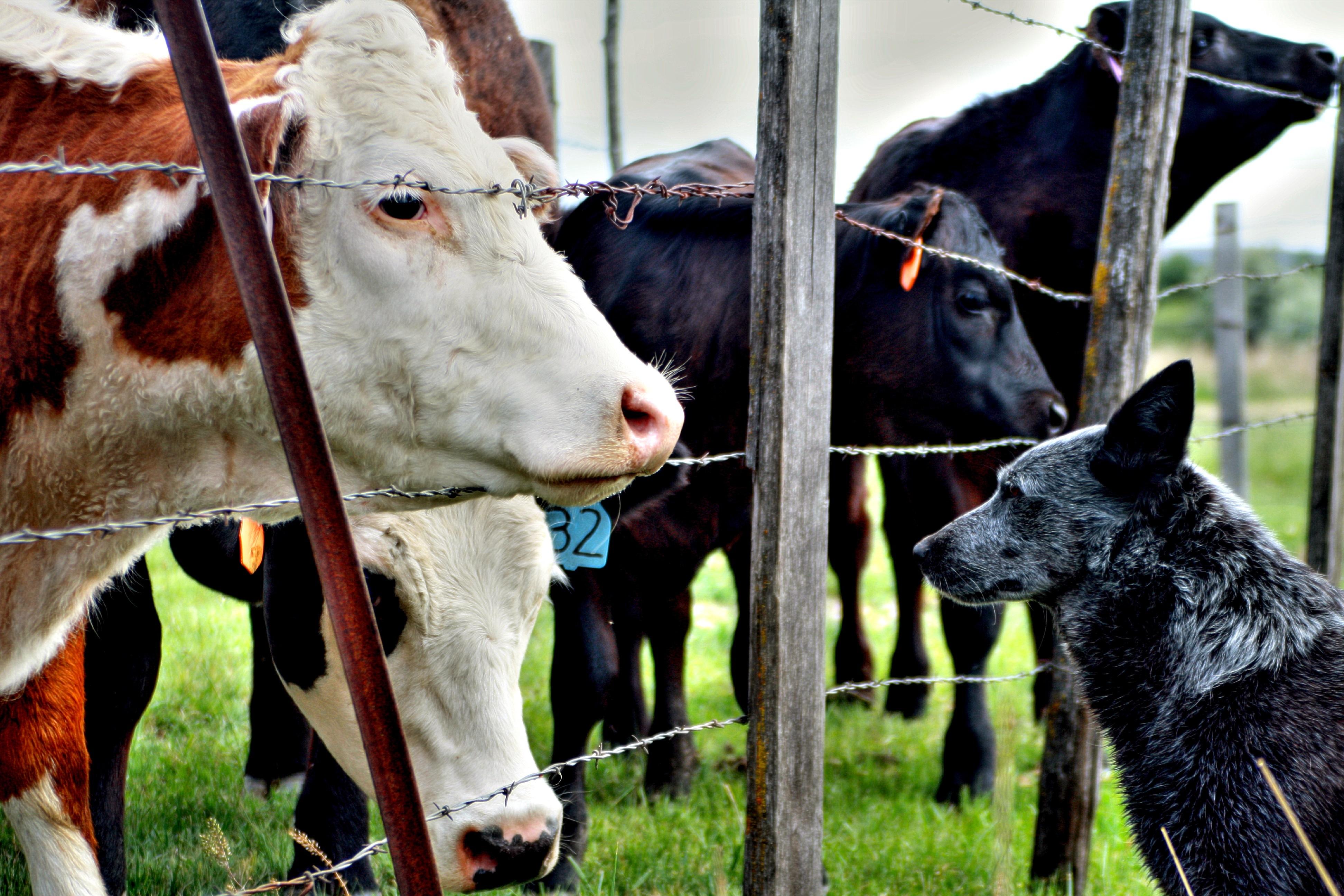 Calf, Animal, Buffalo, Cow, Dog, HQ Photo