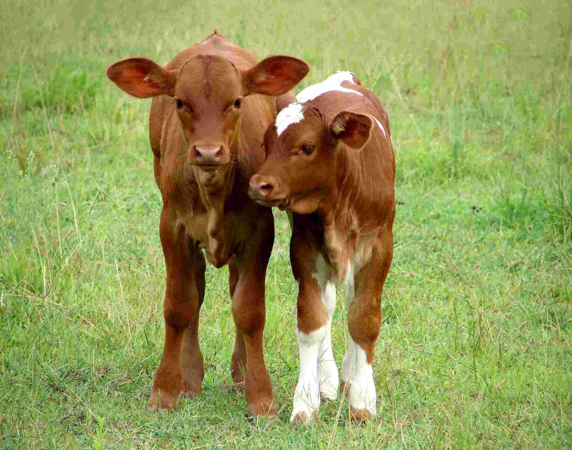 Motherless calves are called
