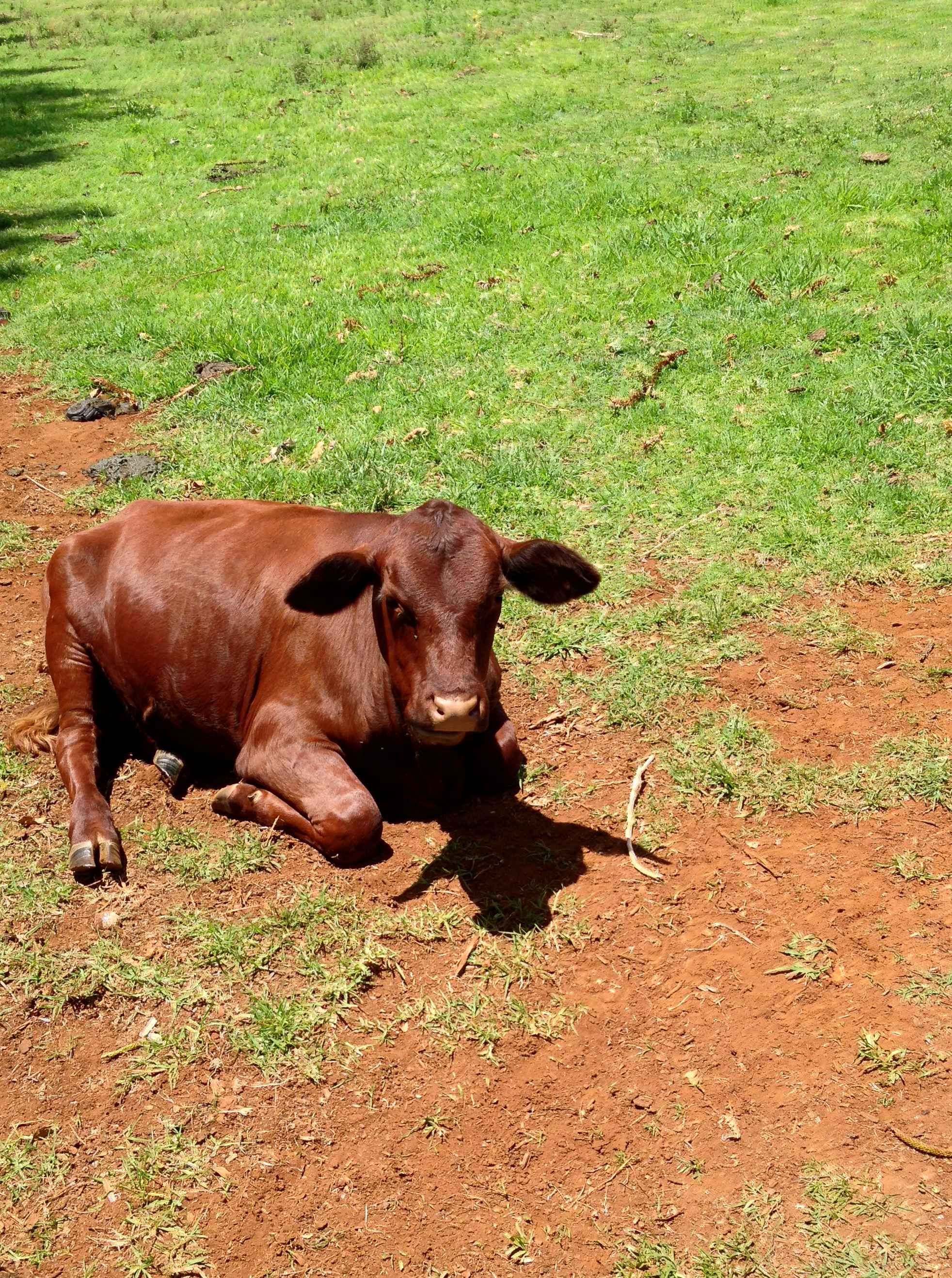 Calf laying in field photo