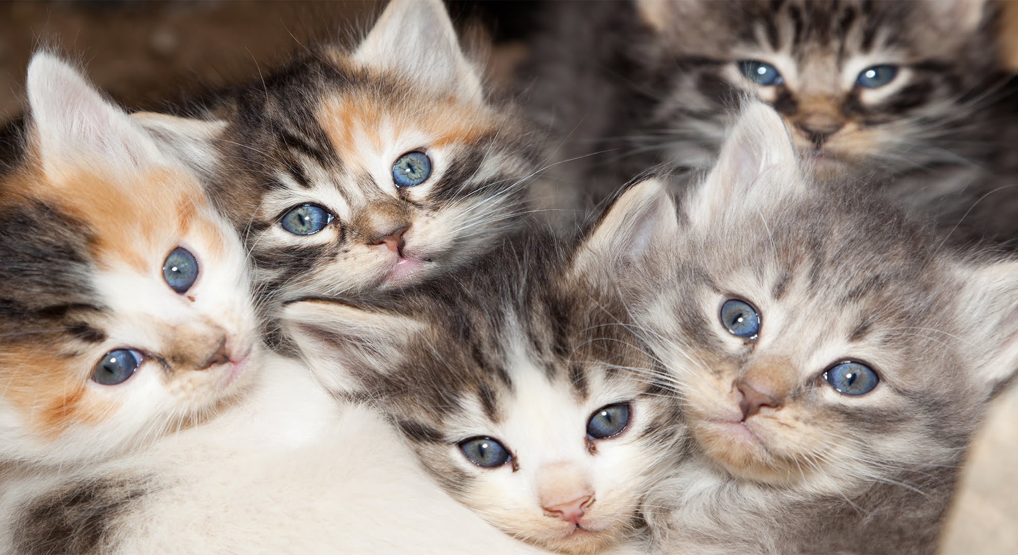 Why Calico Cats are Almost Always Female - YouTube