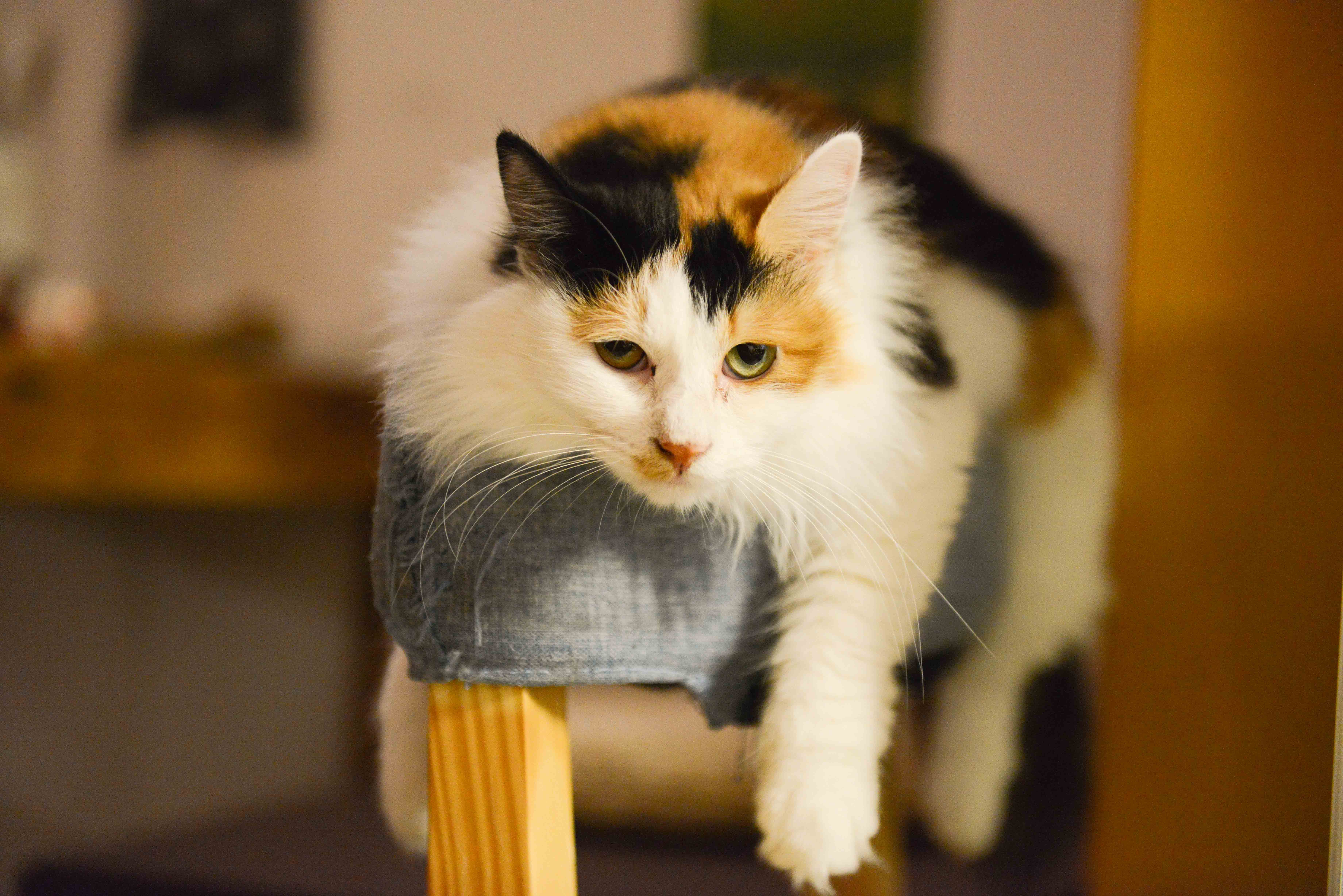 Calico Cat, Kitten, Young, Whiskers, Tabby, HQ Photo