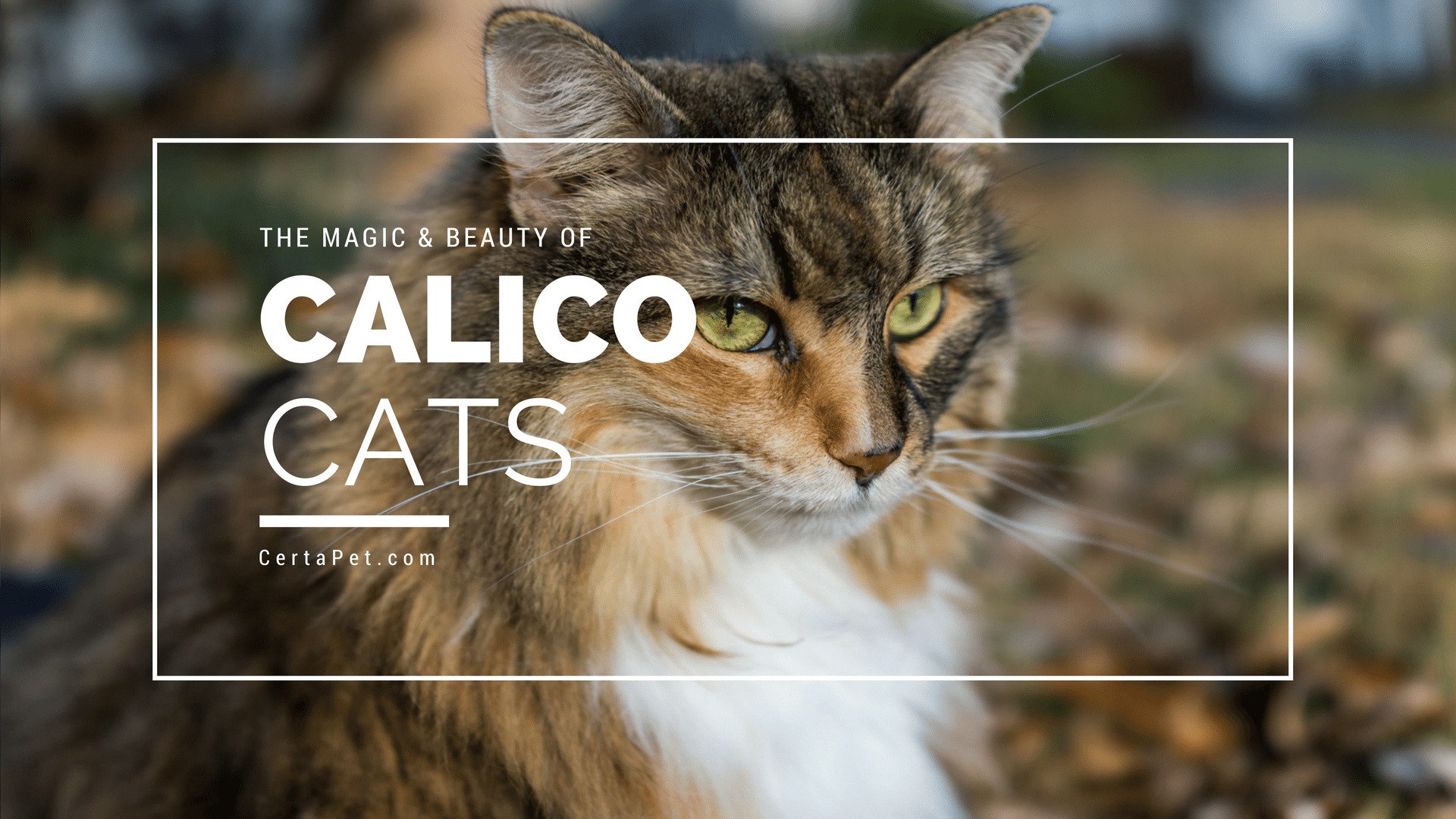 The Magic and Beauty of Calico Cats   CertaPet