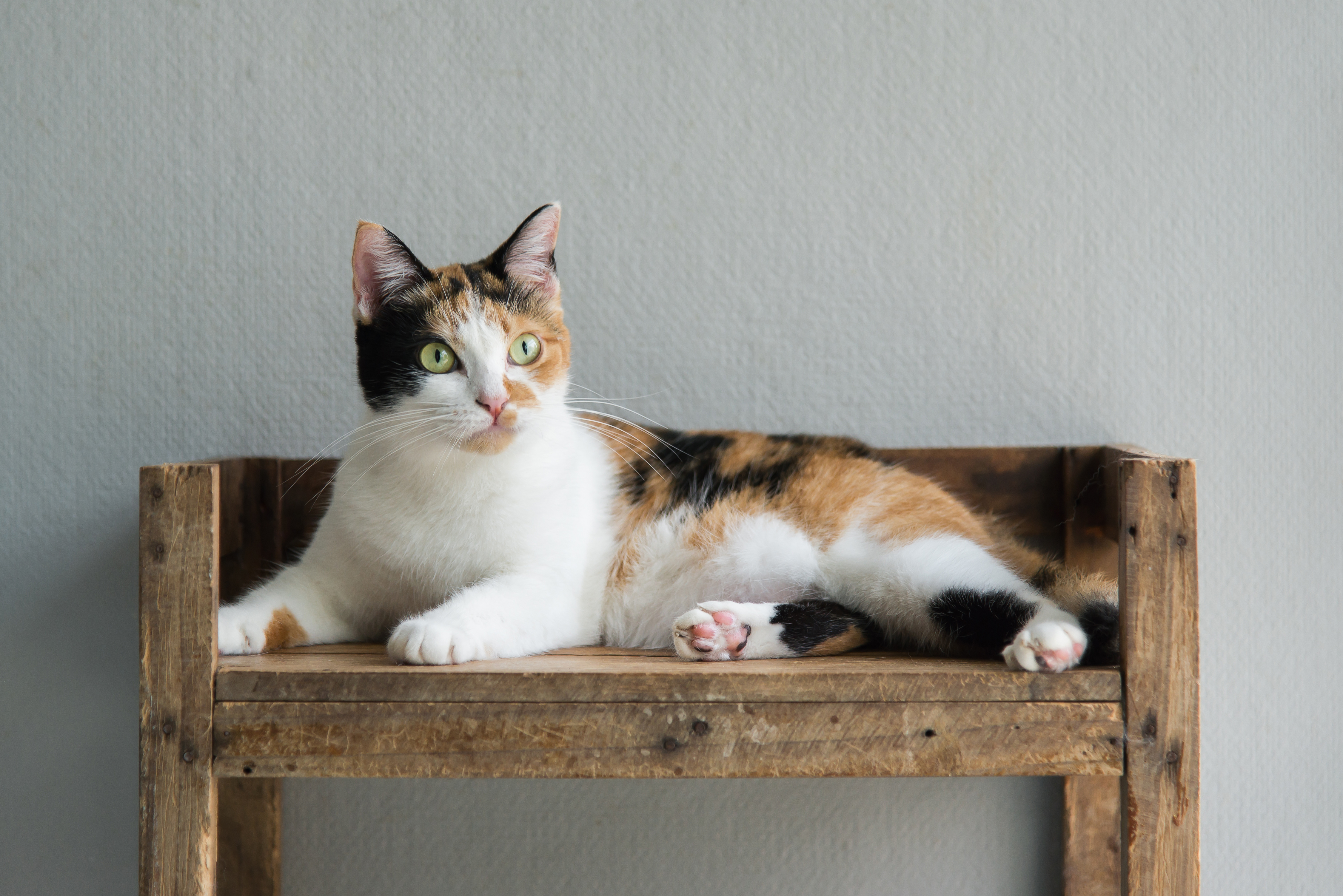 Calico Cats: Why Are They Always Female?