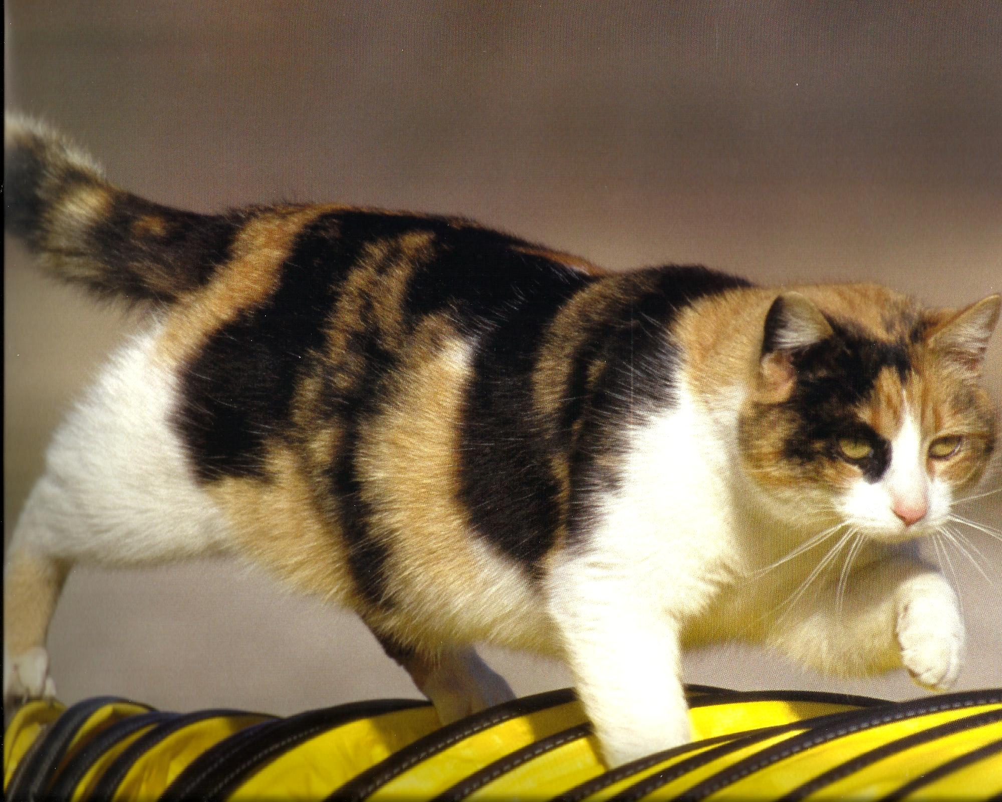 Tri Color Calico Cat Interesting Facts and Enormous Personality ...