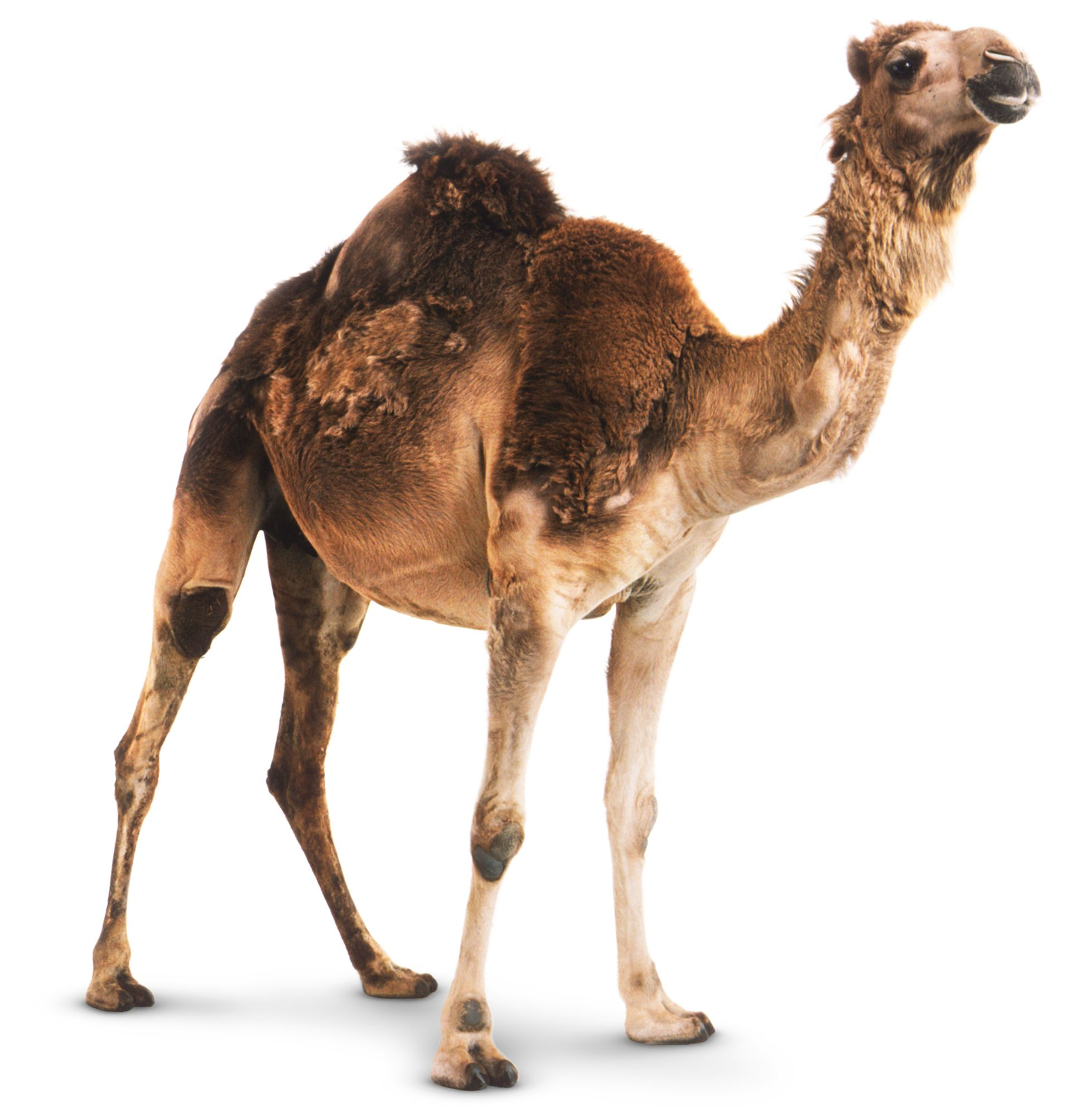Camel Facts For Kids | Fun Facts About Camels | DK Find Out
