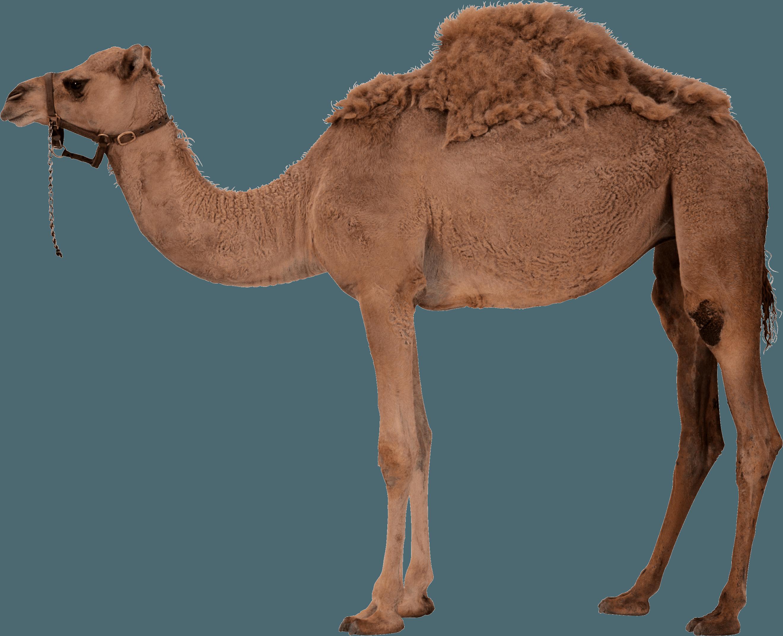 Camel PNG Image - PurePNG | Free transparent CC0 PNG Image Library
