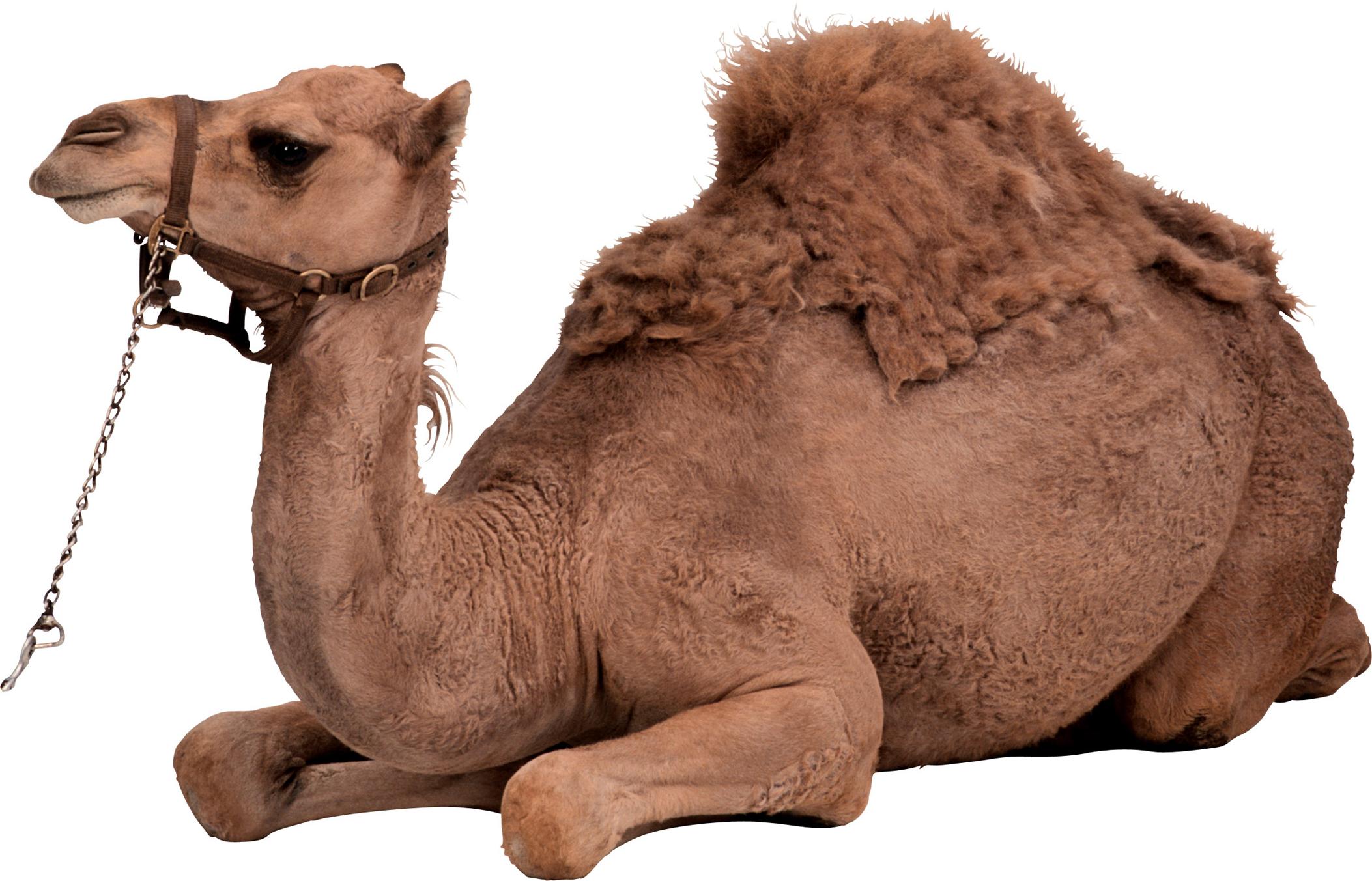 Camel Transparent PNG Image | Web Icons PNG