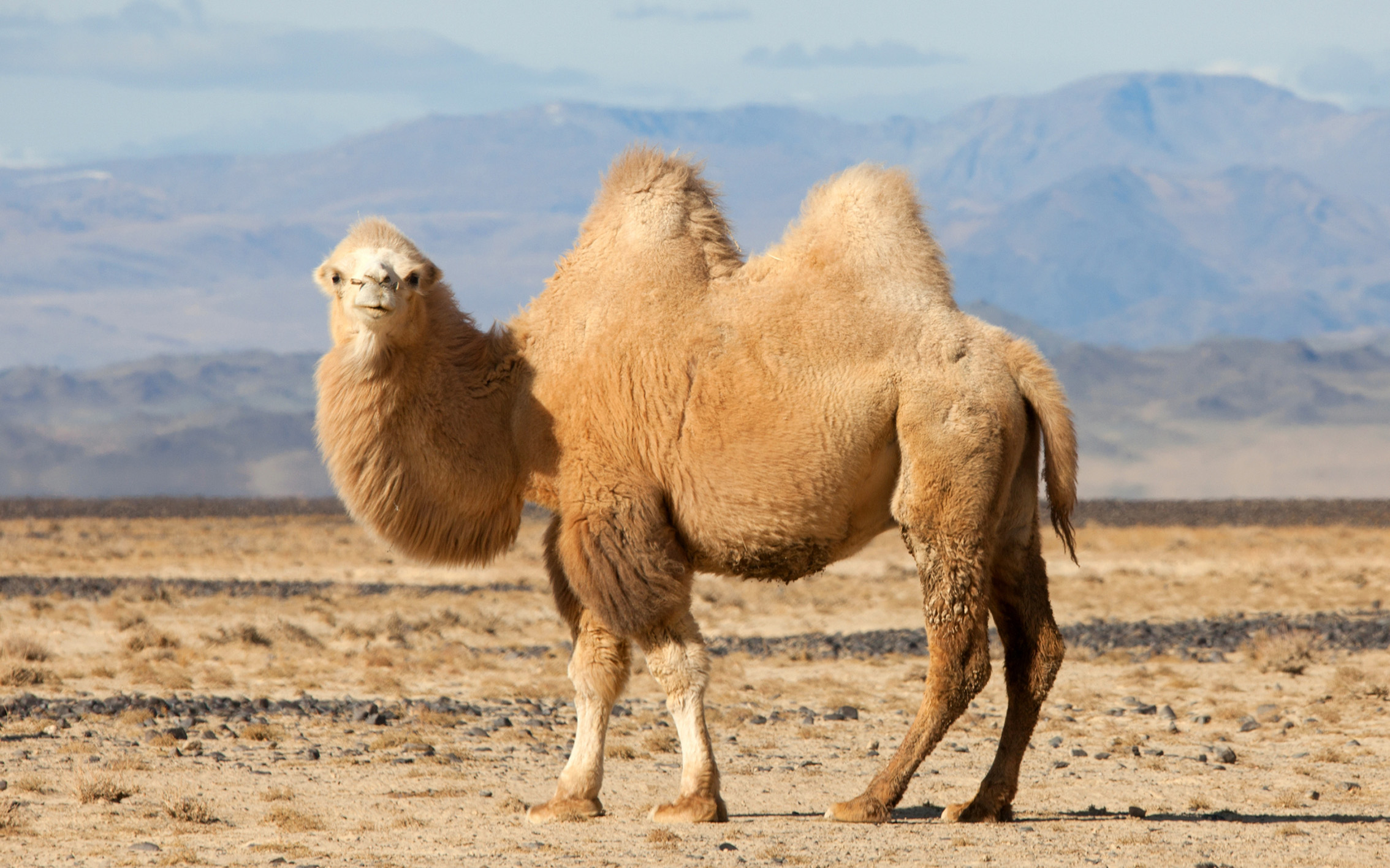 Bactrian Camels on the Brink | Financial Tribune
