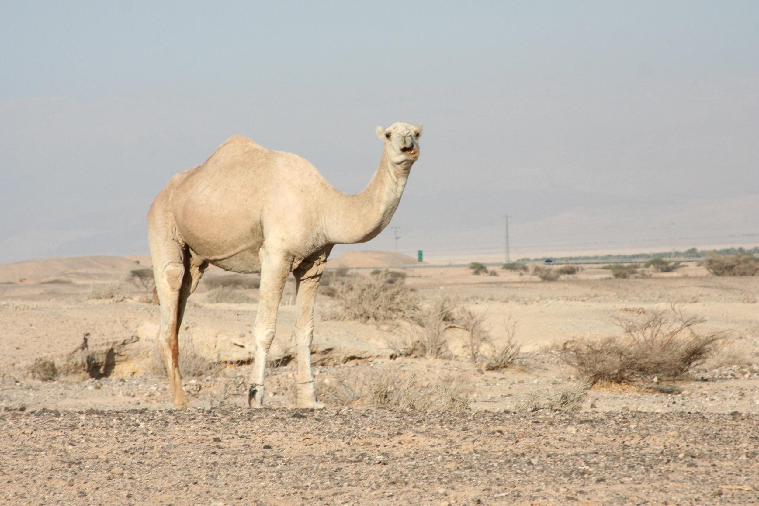 Camel in the desert photo