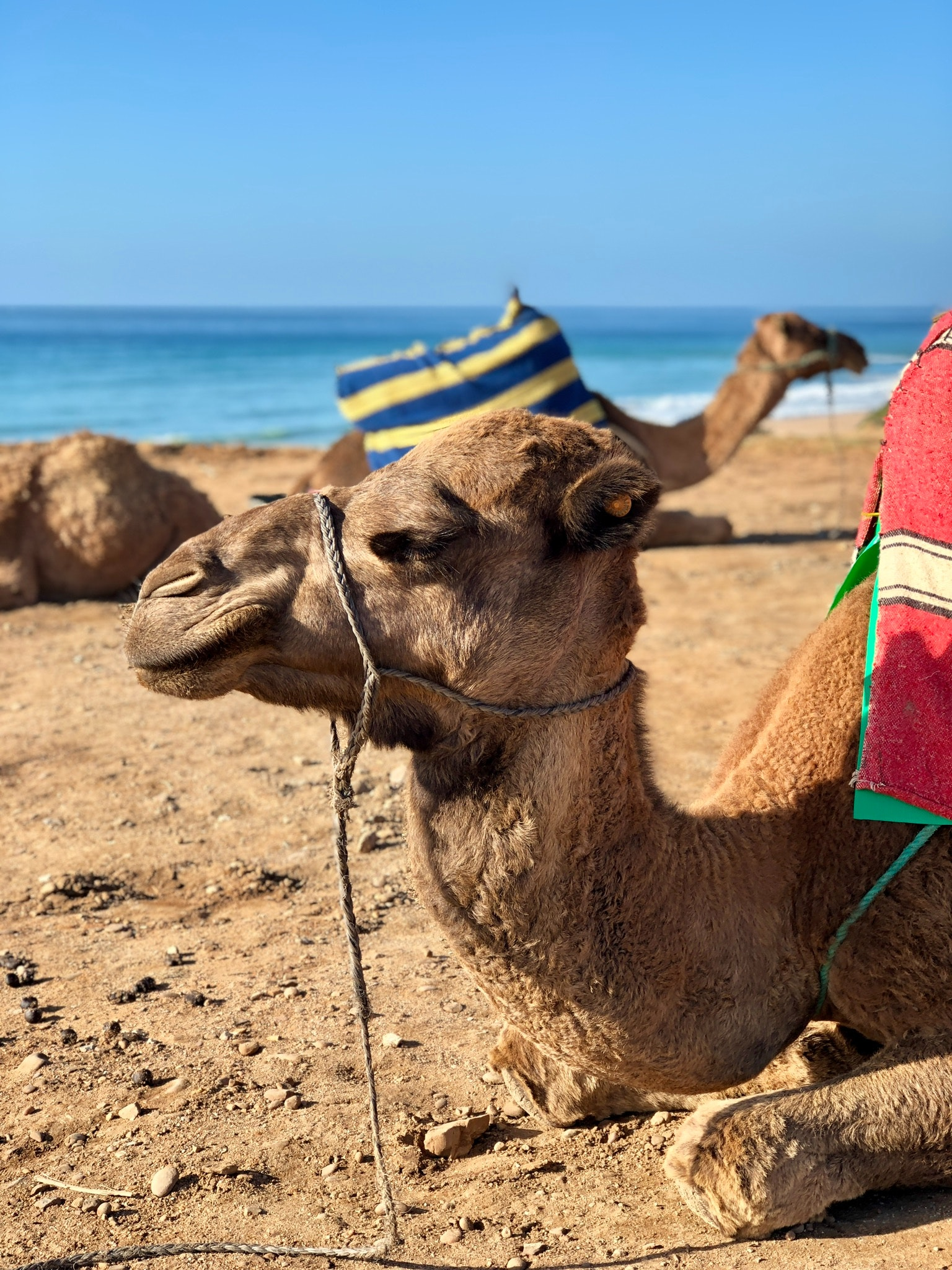 Camel resting by the shore photo