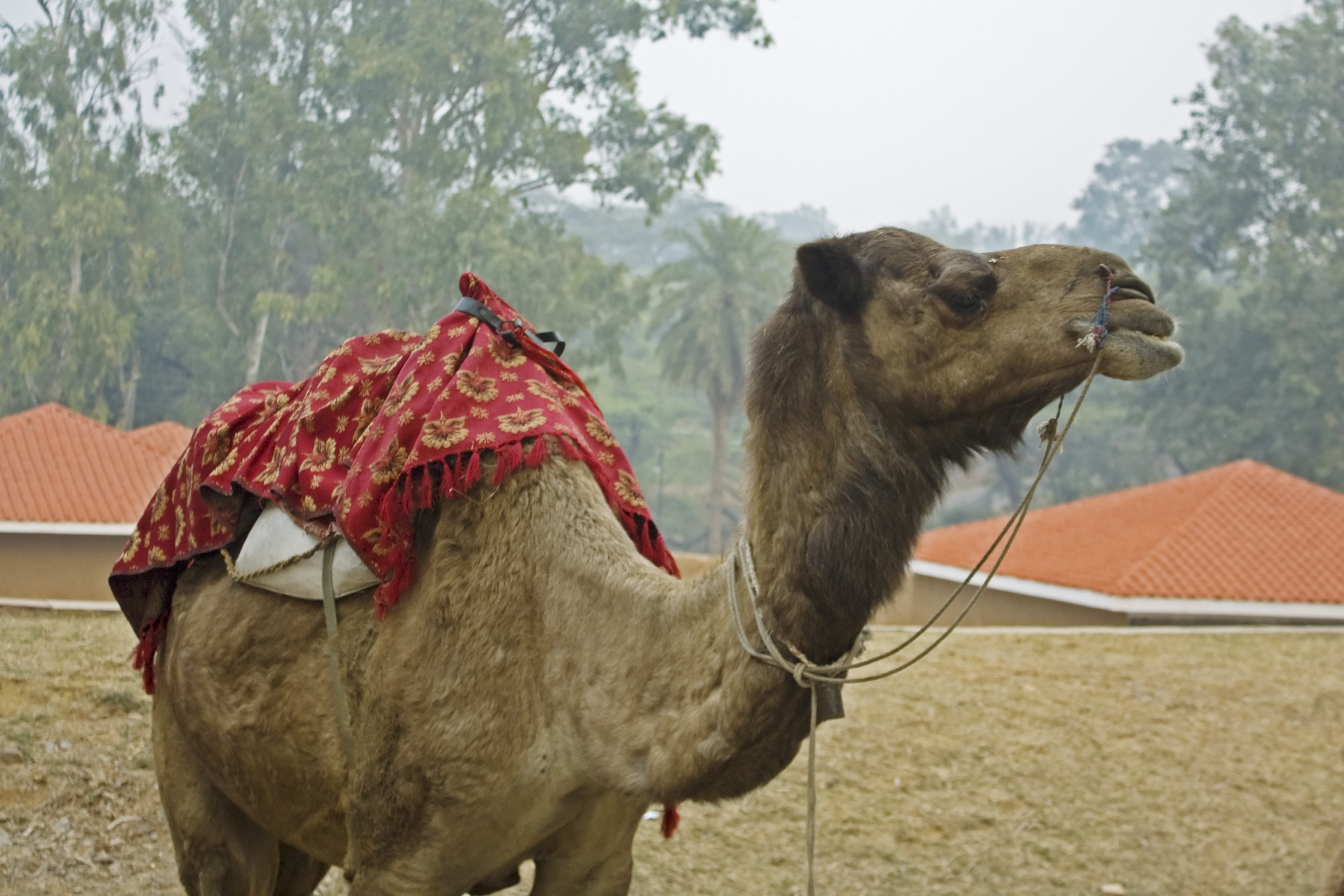 Camel with mount for riders photo