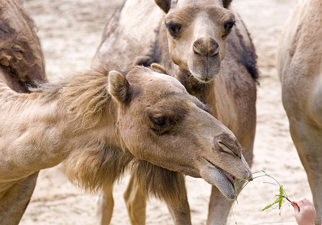 Camels, Animal, Wild, Nature, Mouth, HQ Photo