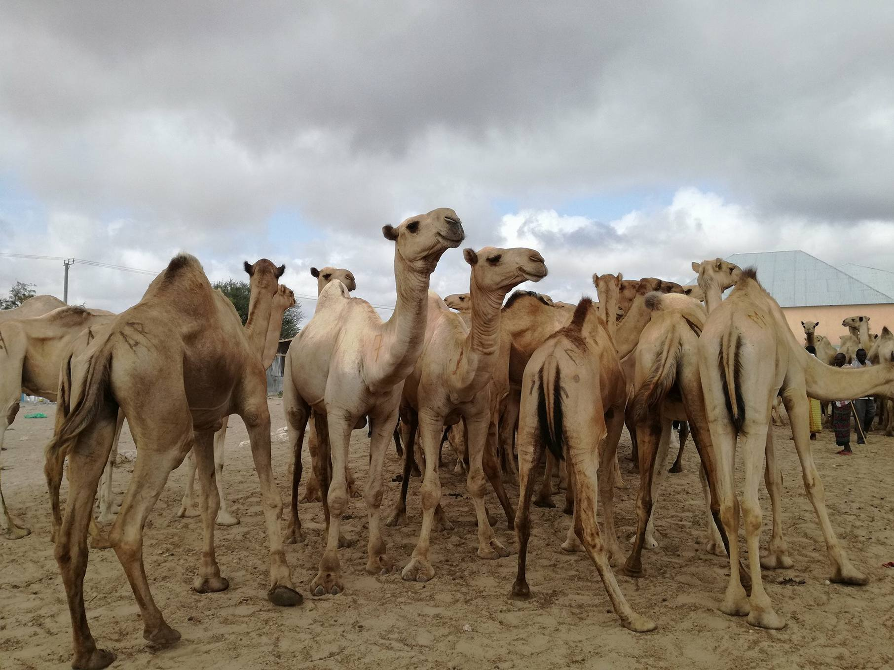 Camel Shares – Ari.farm