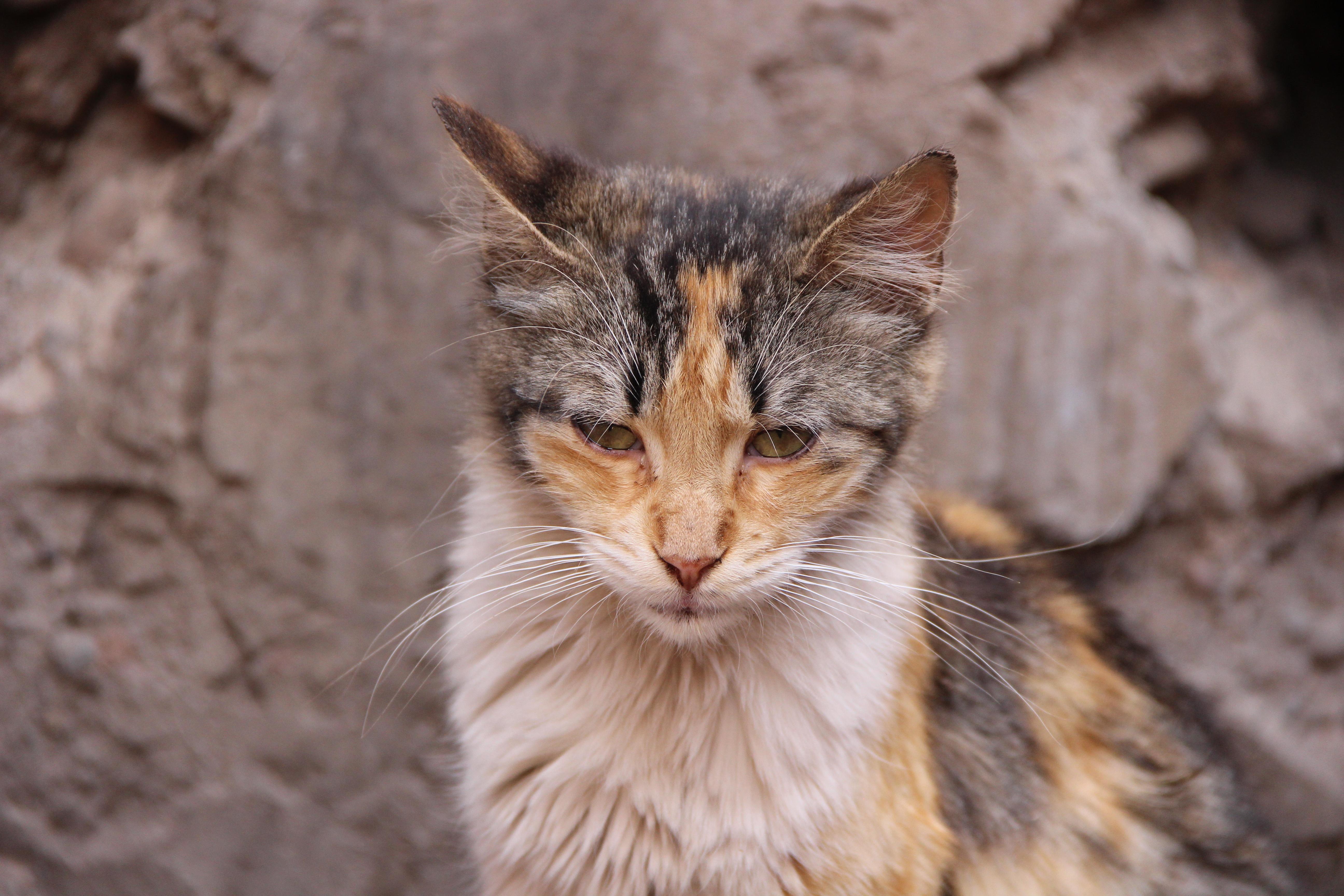 CAMILLE MORENOS - Chat des ruelles, Animal, Cat, Outdoor, Pet, HQ Photo