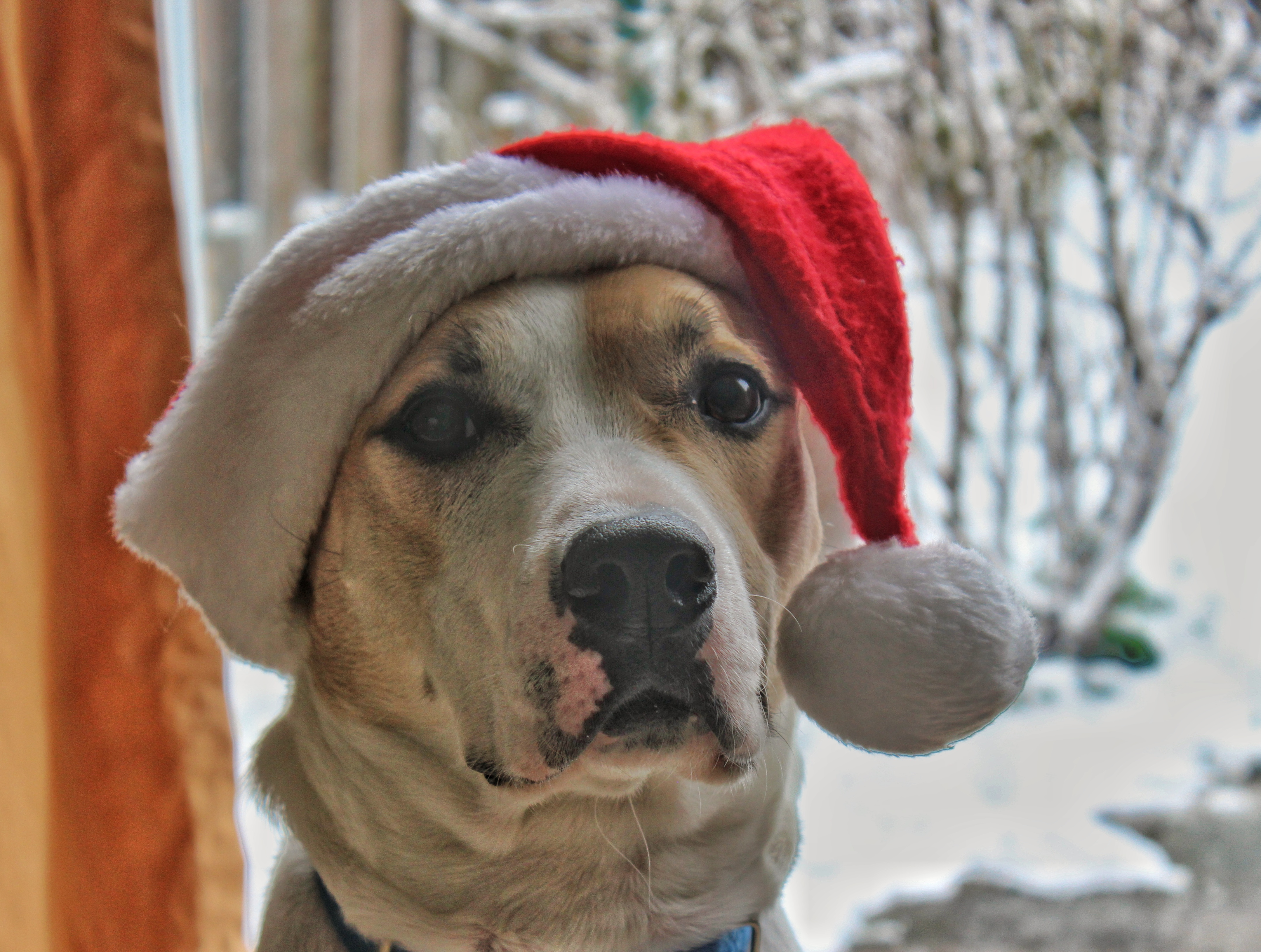 Can we get this over with?, Christmas, Dog, Hat, Noel, HQ Photo