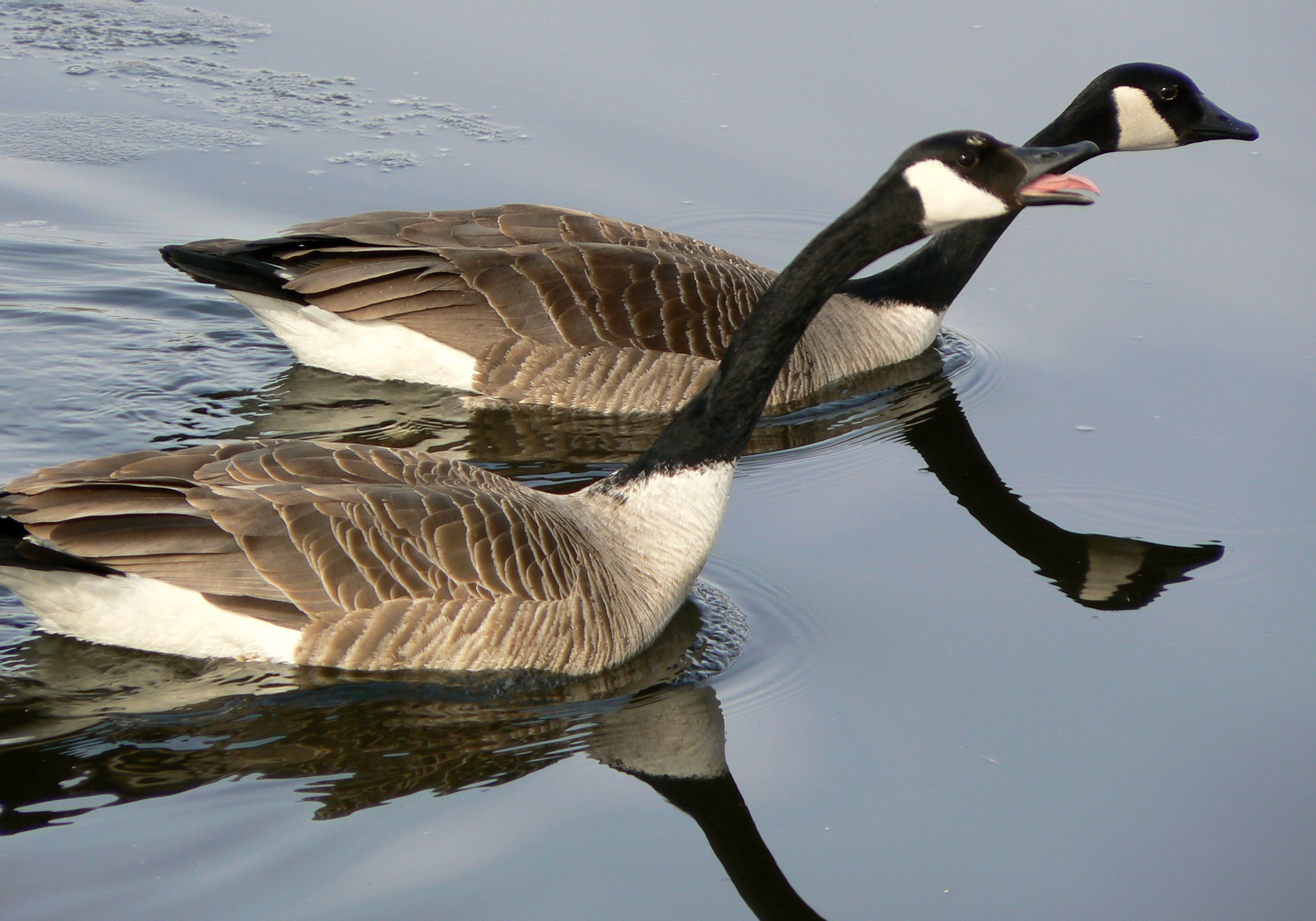 Canadian geese photo
