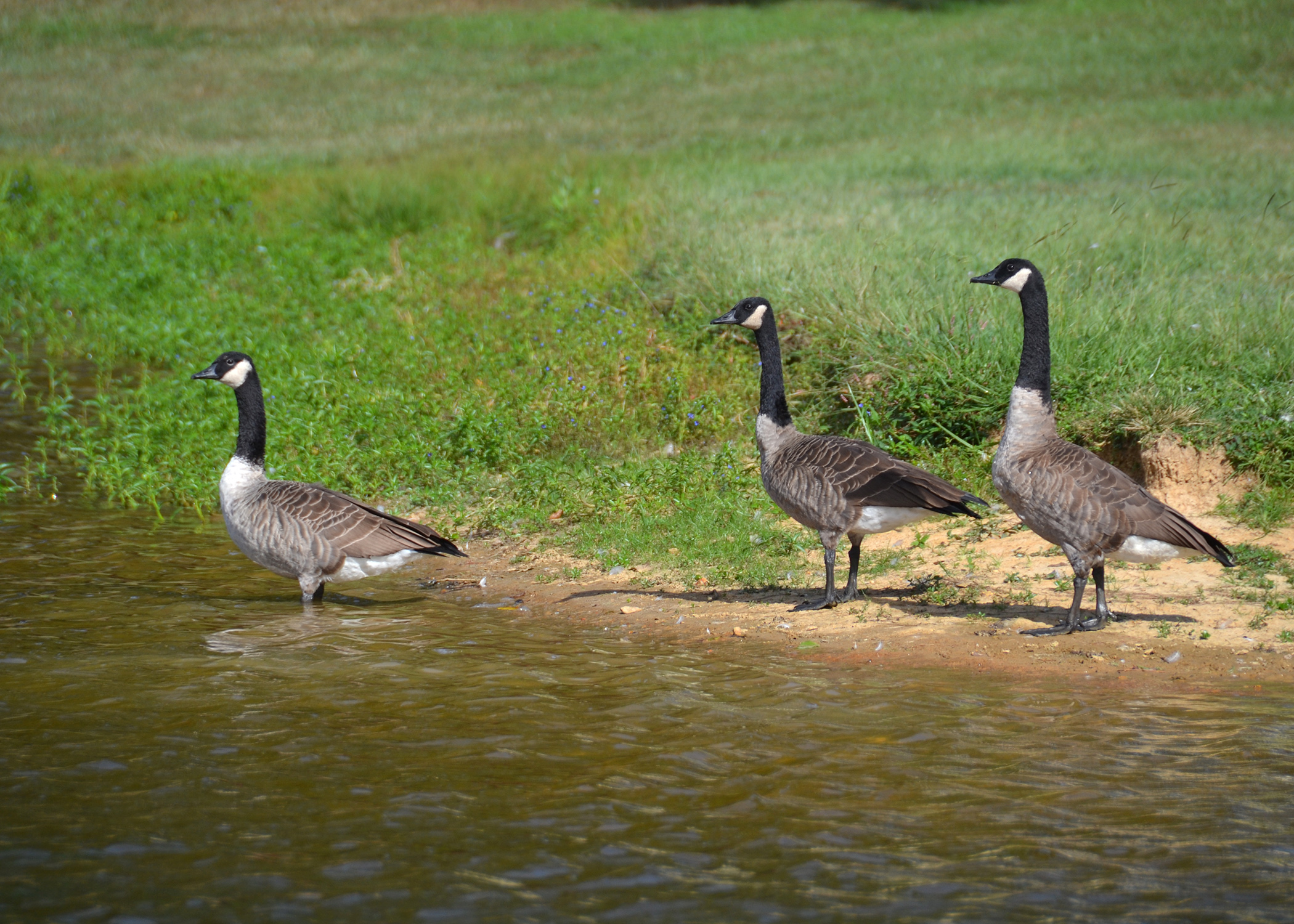 Canada geese: The snowbirds that came and never left | Mississippi ...