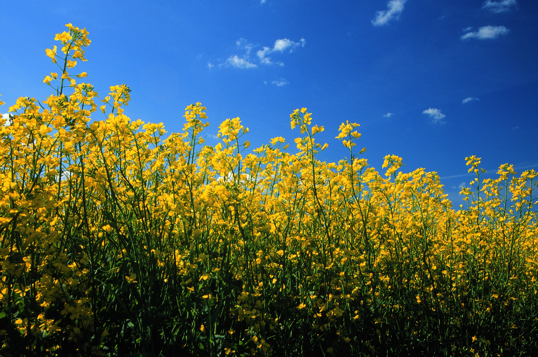 Fields & Flowers - Canola Council of Canada