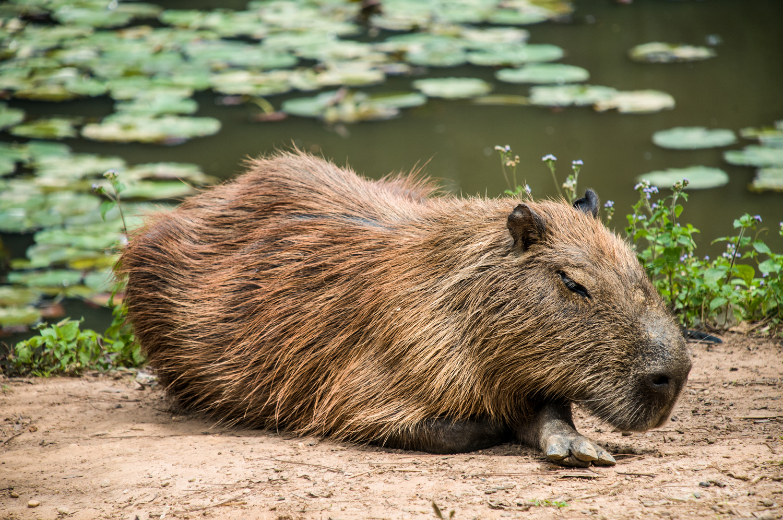 Capivara, Sleeping, Animal, HQ Photo