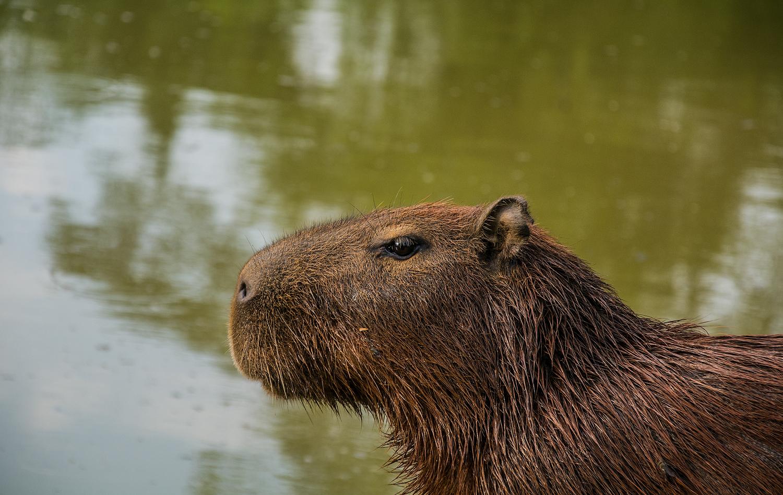 Capivara, Animal, Rodent, Zoo, HQ Photo