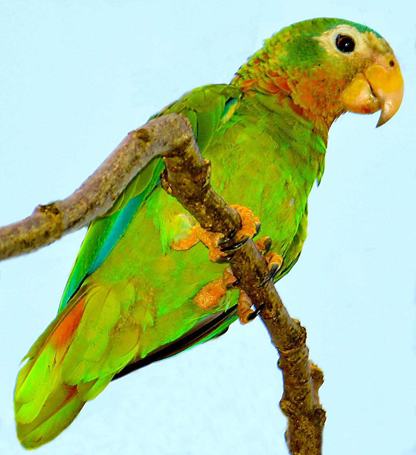 Two caribbean parakeets photo