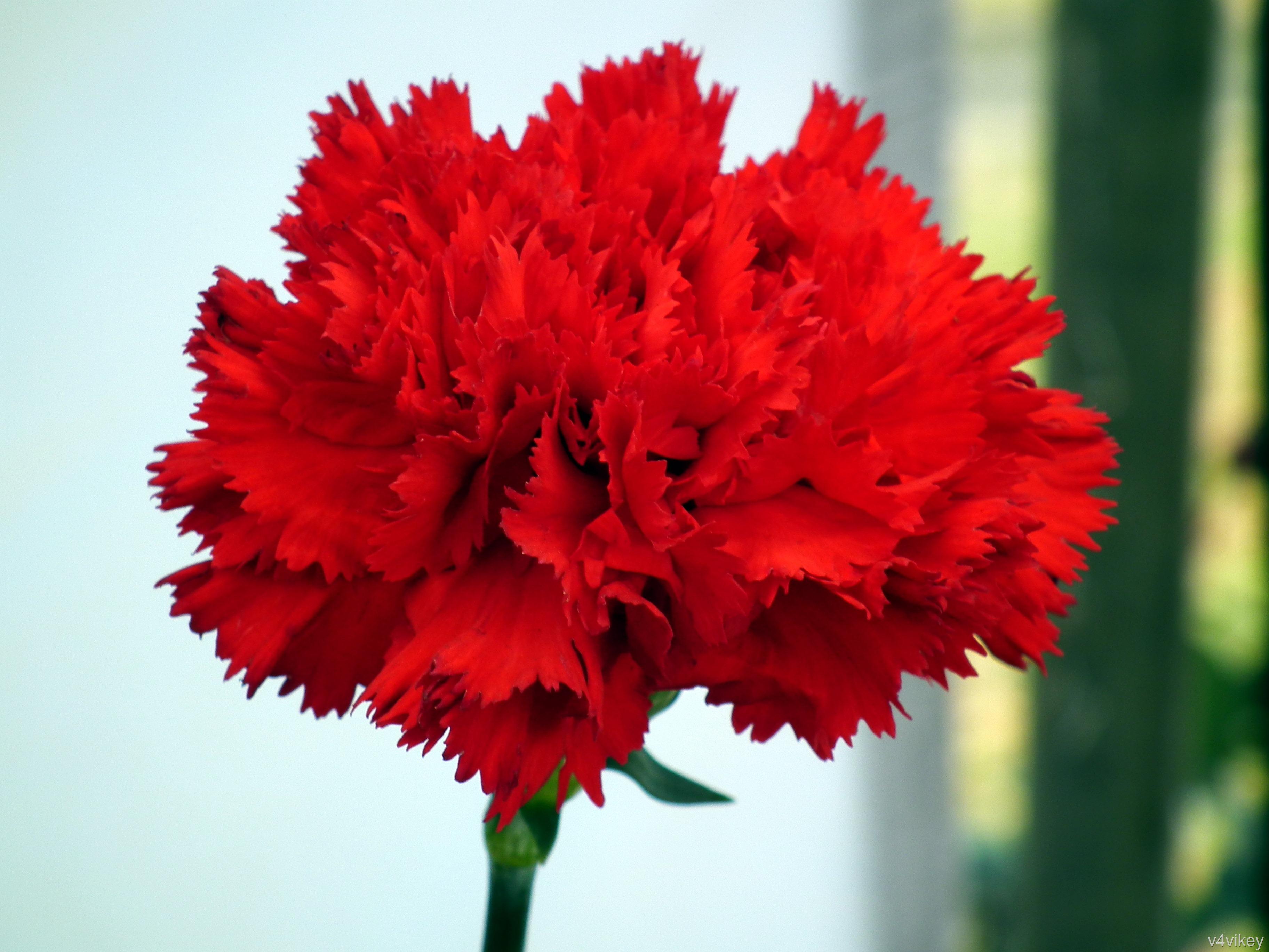 Red Carnation Flower HD Wallpaper « Wallpaper Tadka
