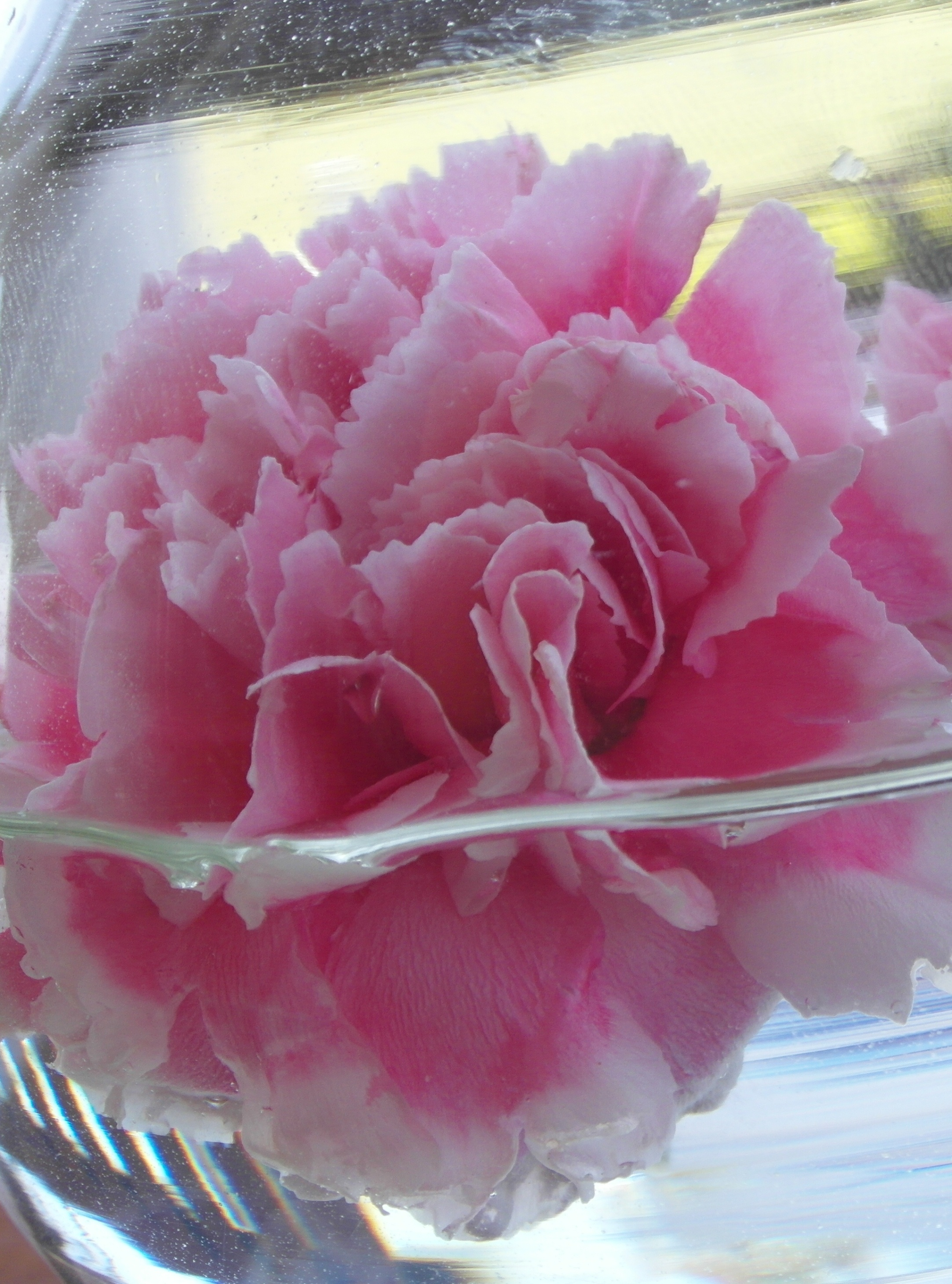 Carnation close-up photo