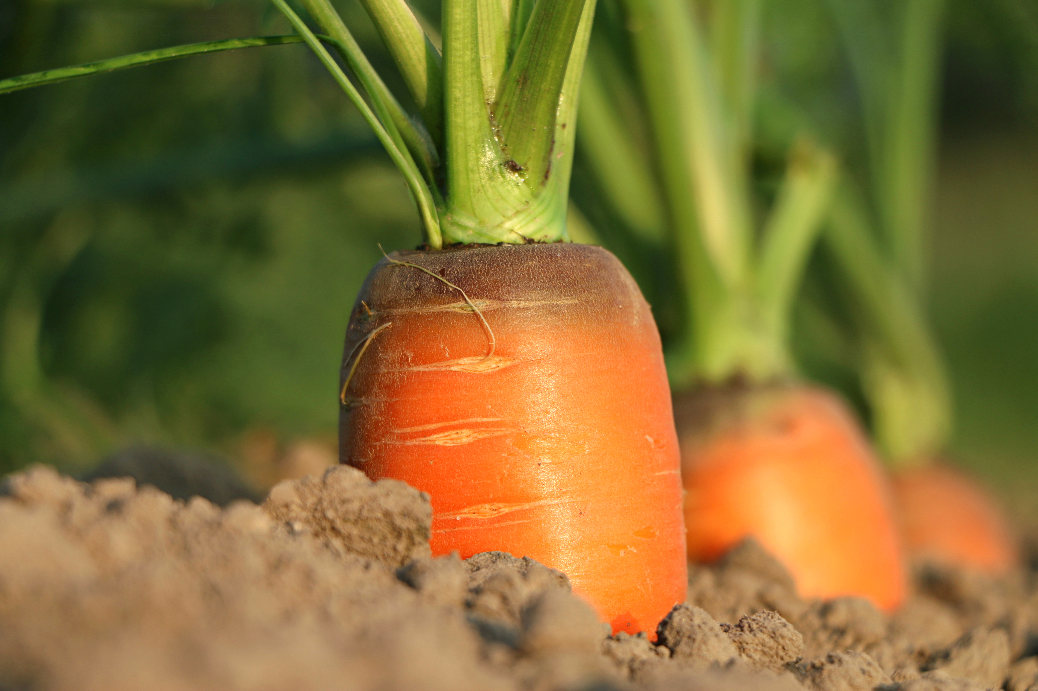 Carrot growth, Bed, Carrot, Green, Ground, HQ Photo