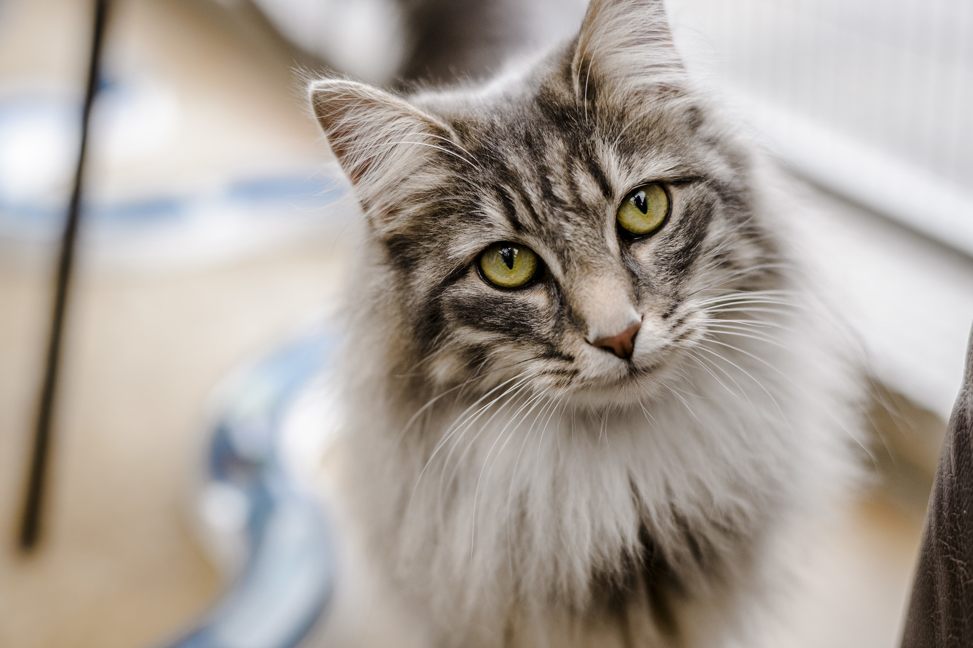 Flea Treatment for Cats and Kittens