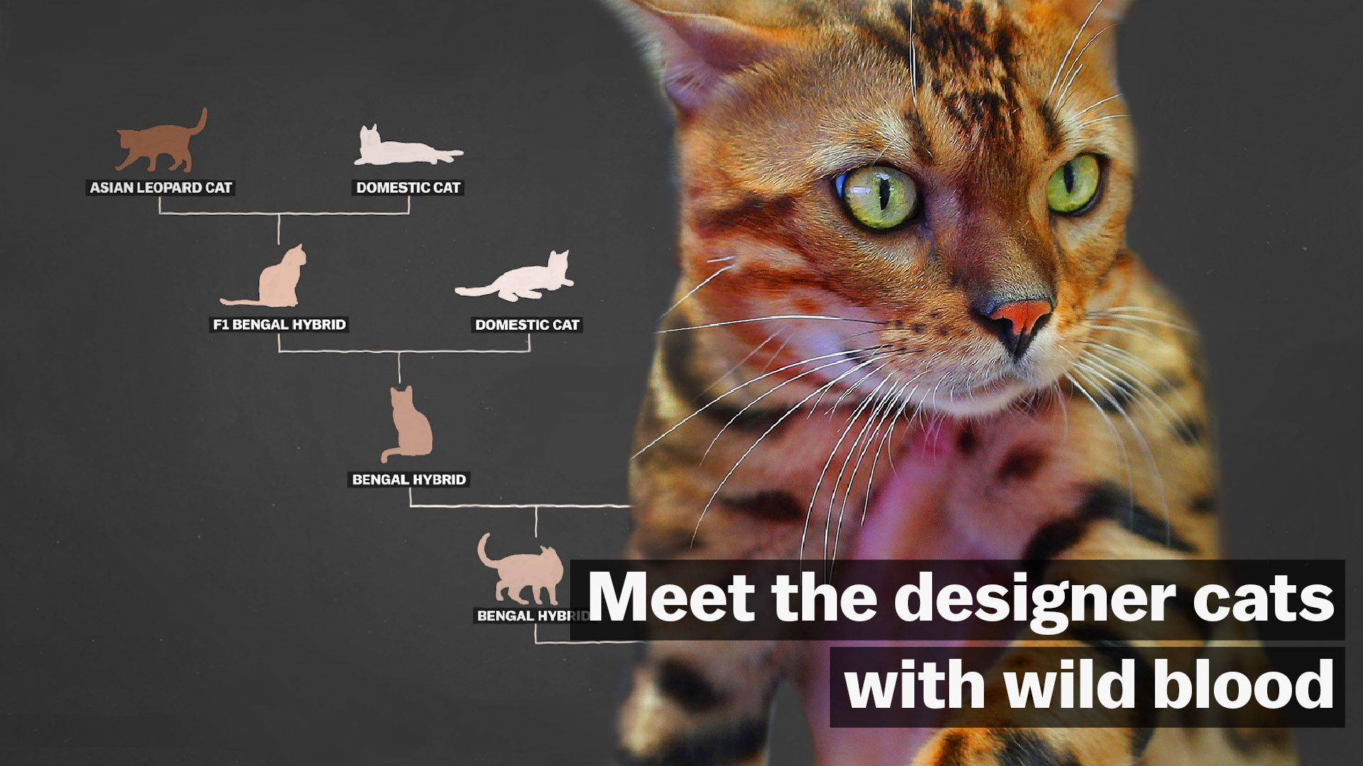 Meet the designer cats with wild blood - Vox