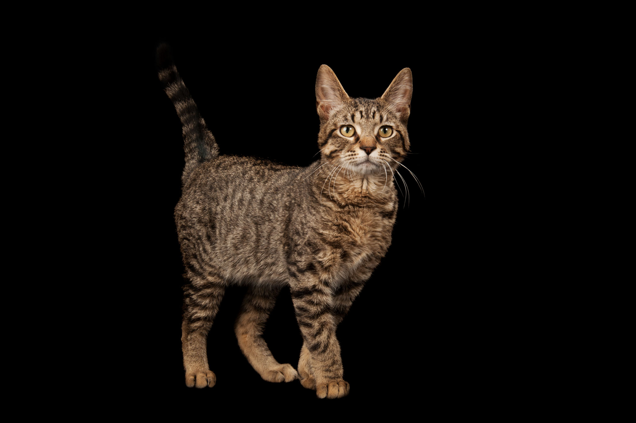 Cats Domesticated Themselves, Ancient DNA Shows
