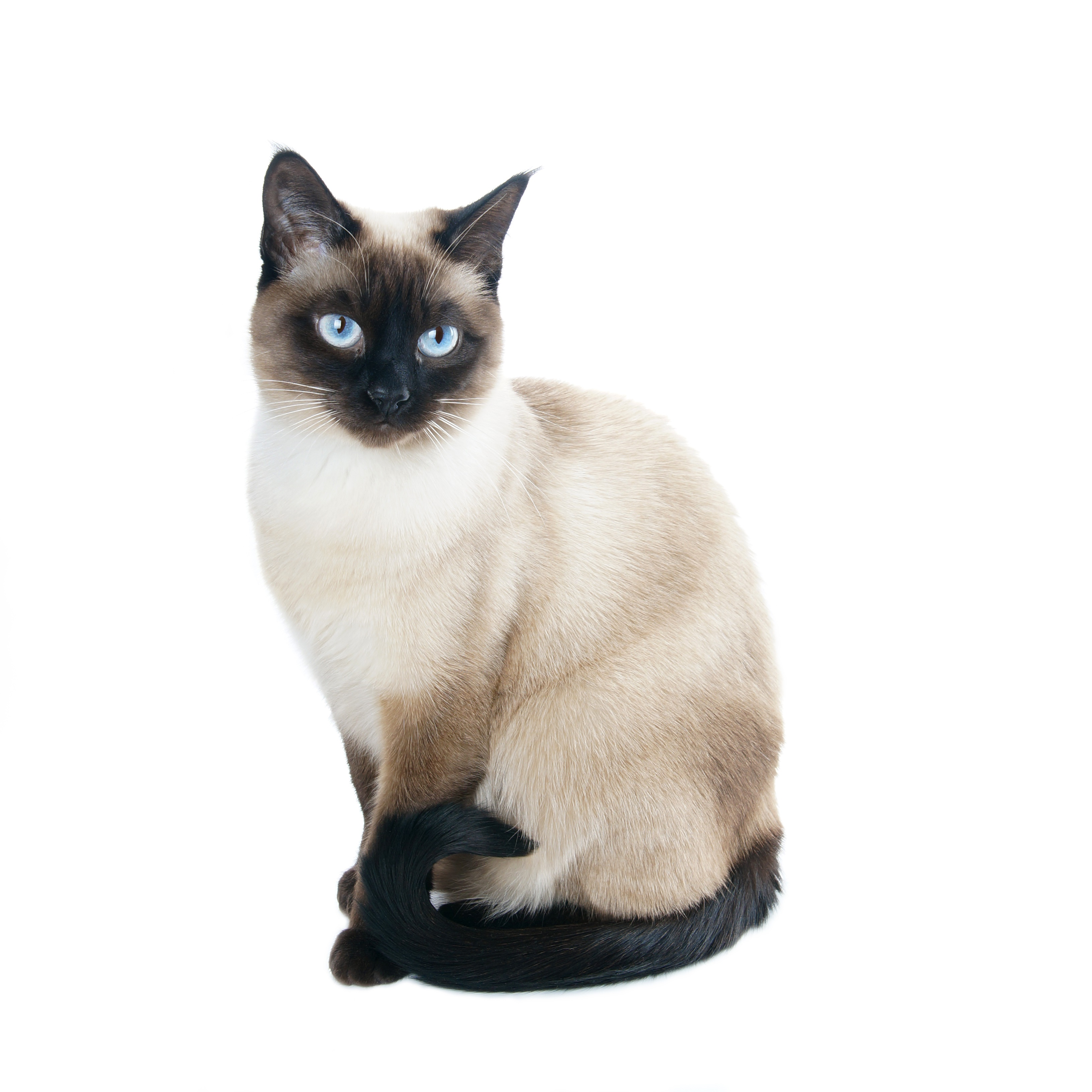 Cat White Background Images | All White Background