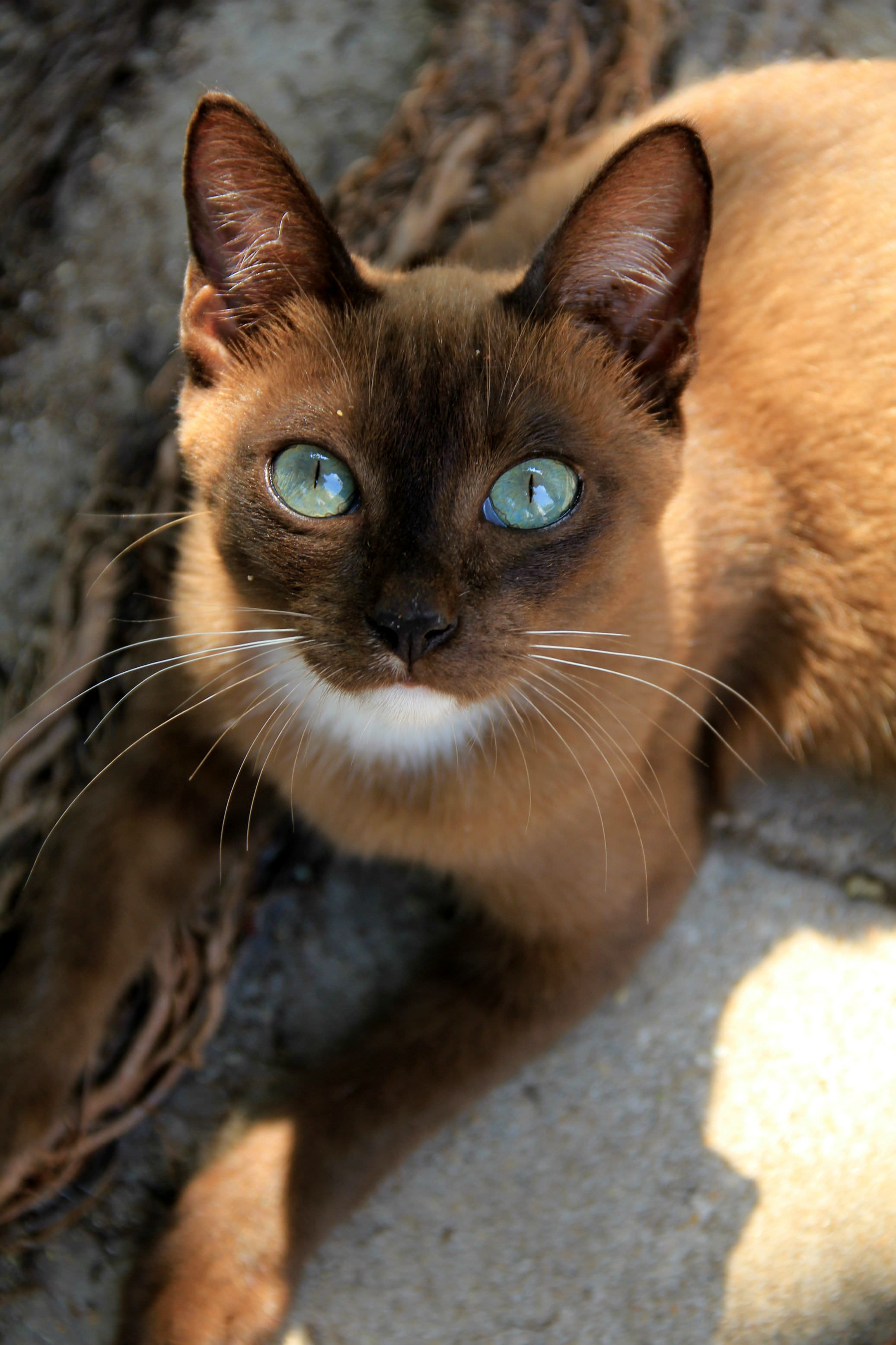 wow what a beautiful cat. Taken outside a Thai Temple - Album on Imgur
