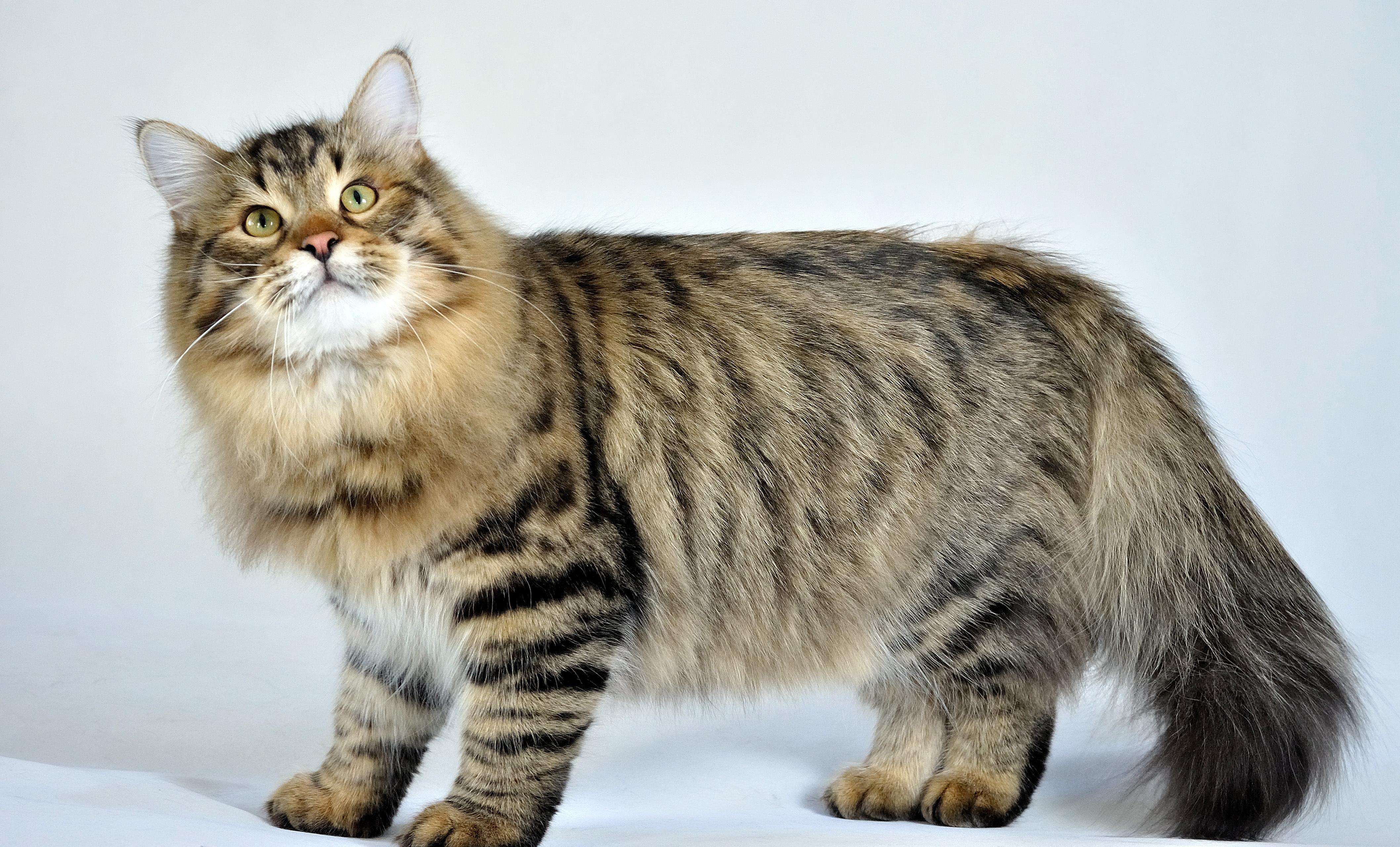 Siberian Cat – Purrfect Cat Breeds