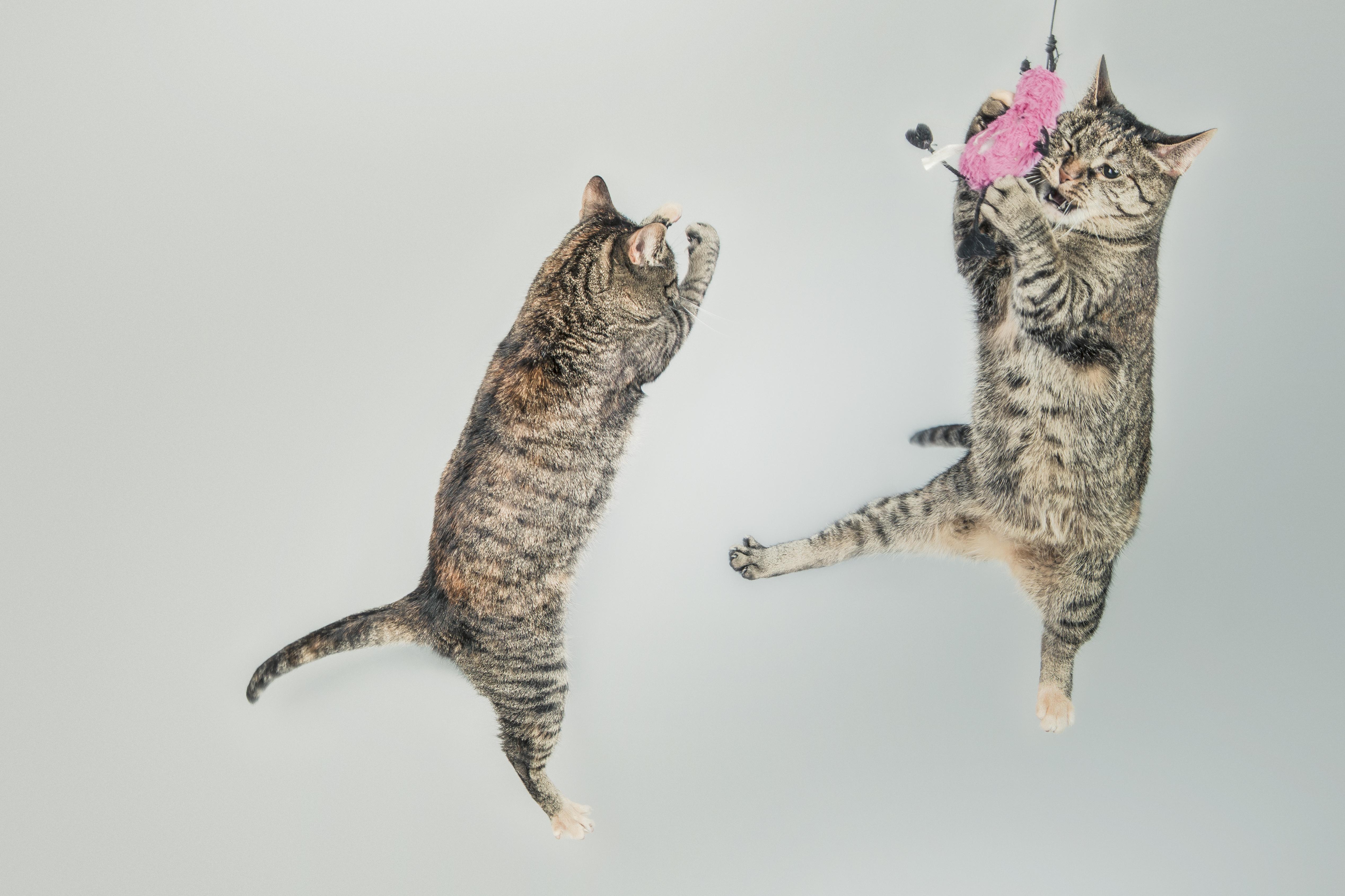 Cuckoo Cats | Cat-Opedia
