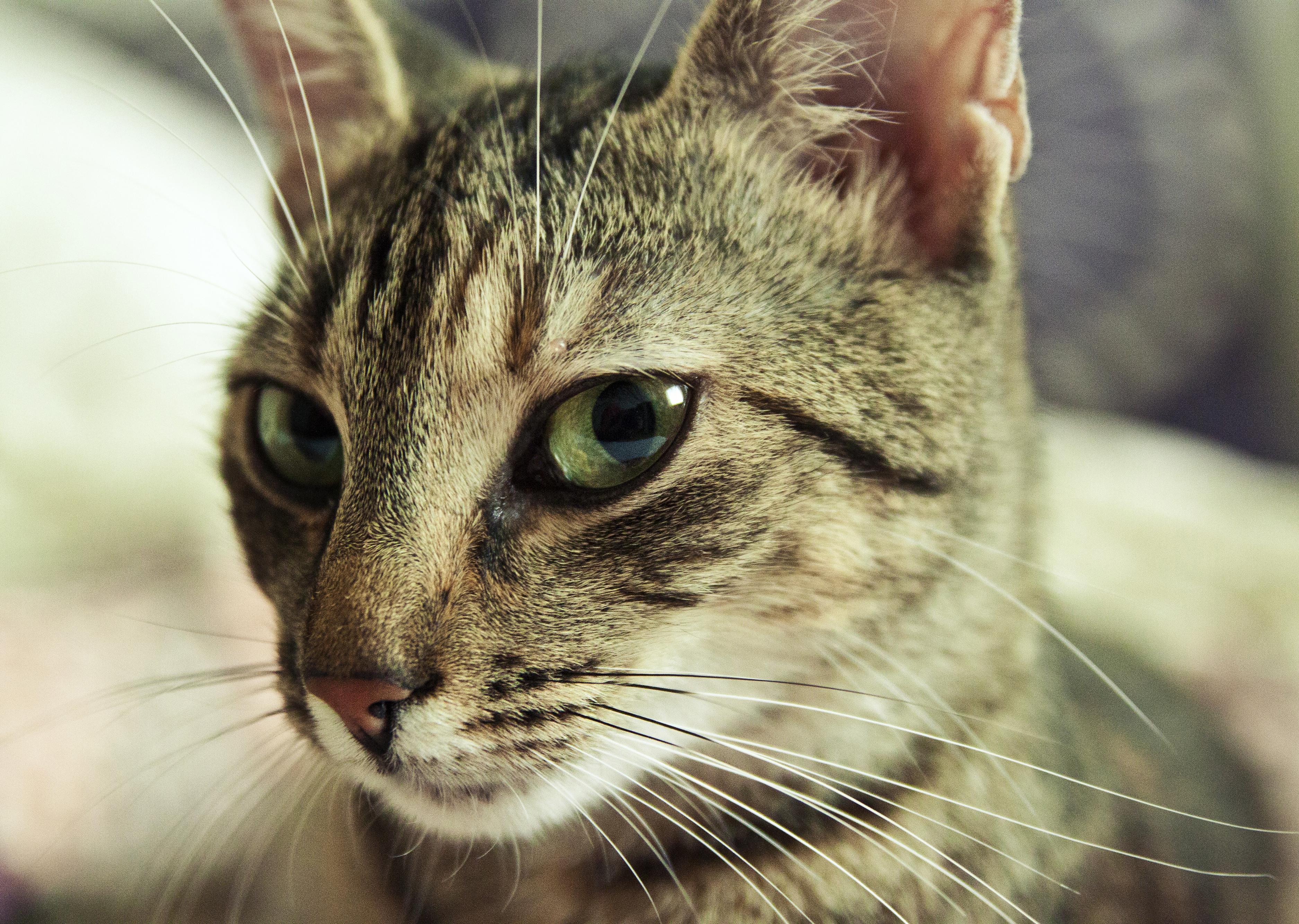 Cat, Head, HQ Photo