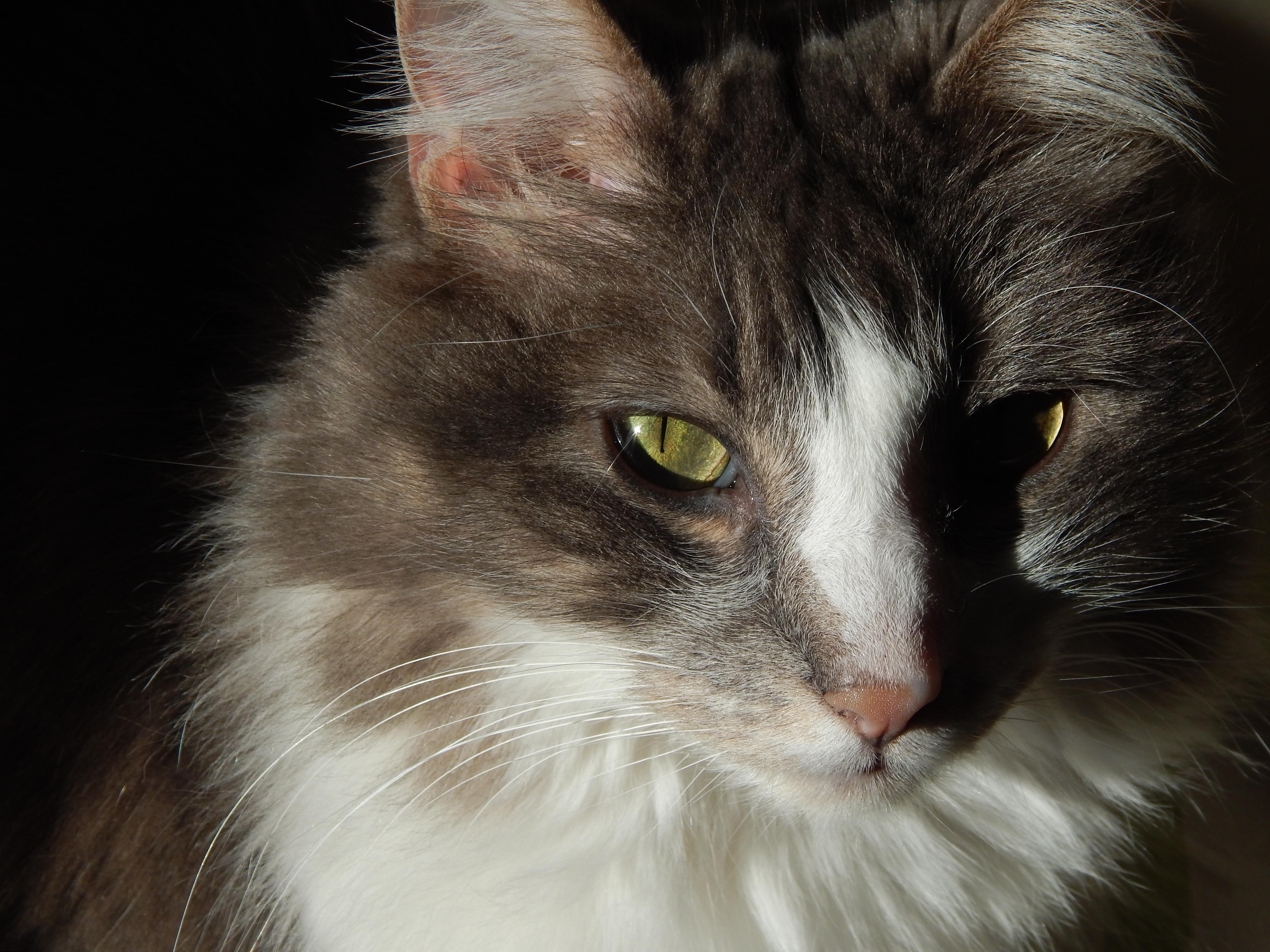 Cat, Closeup, Feline, Fur, Head, HQ Photo