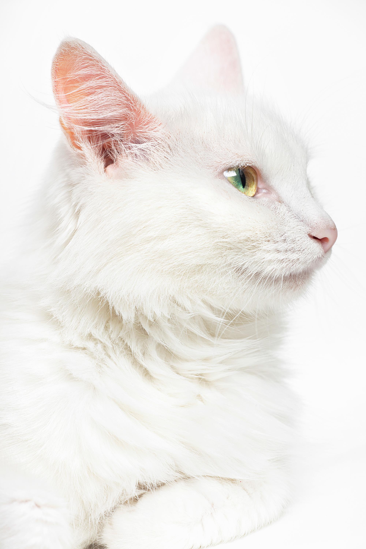 Cat, Adorable, Light, Whisker, Studio, HQ Photo