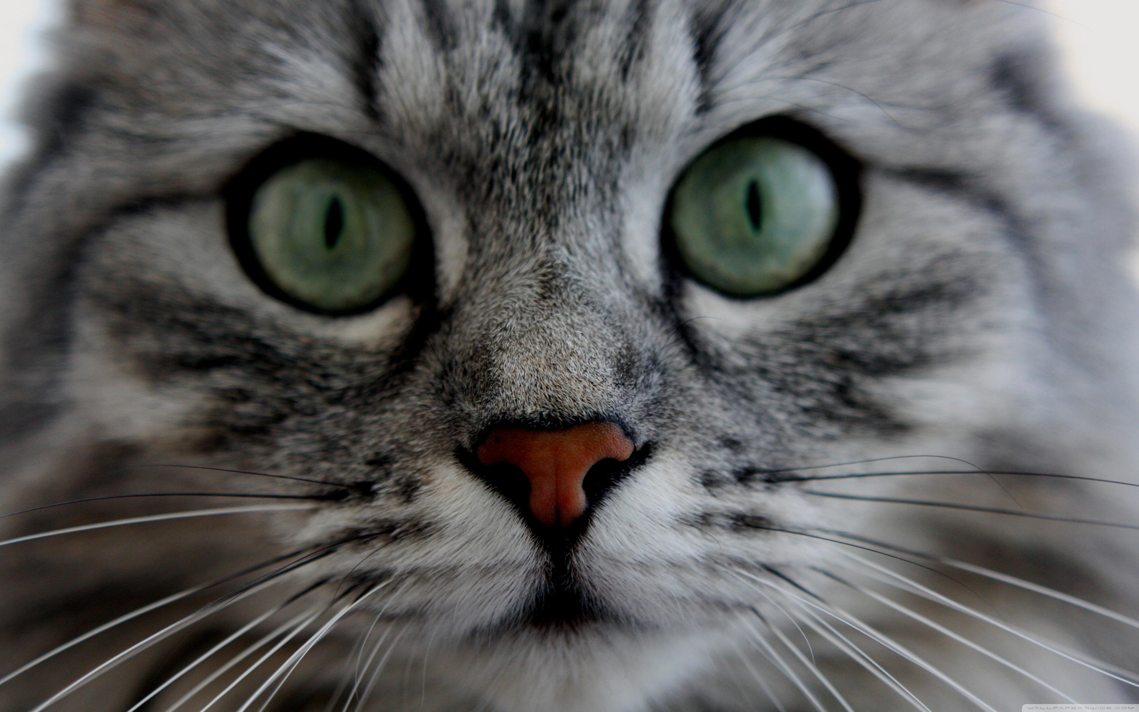 Cat Close up ❤ 4K HD Desktop Wallpaper for 4K Ultra HD TV • Tablet ...