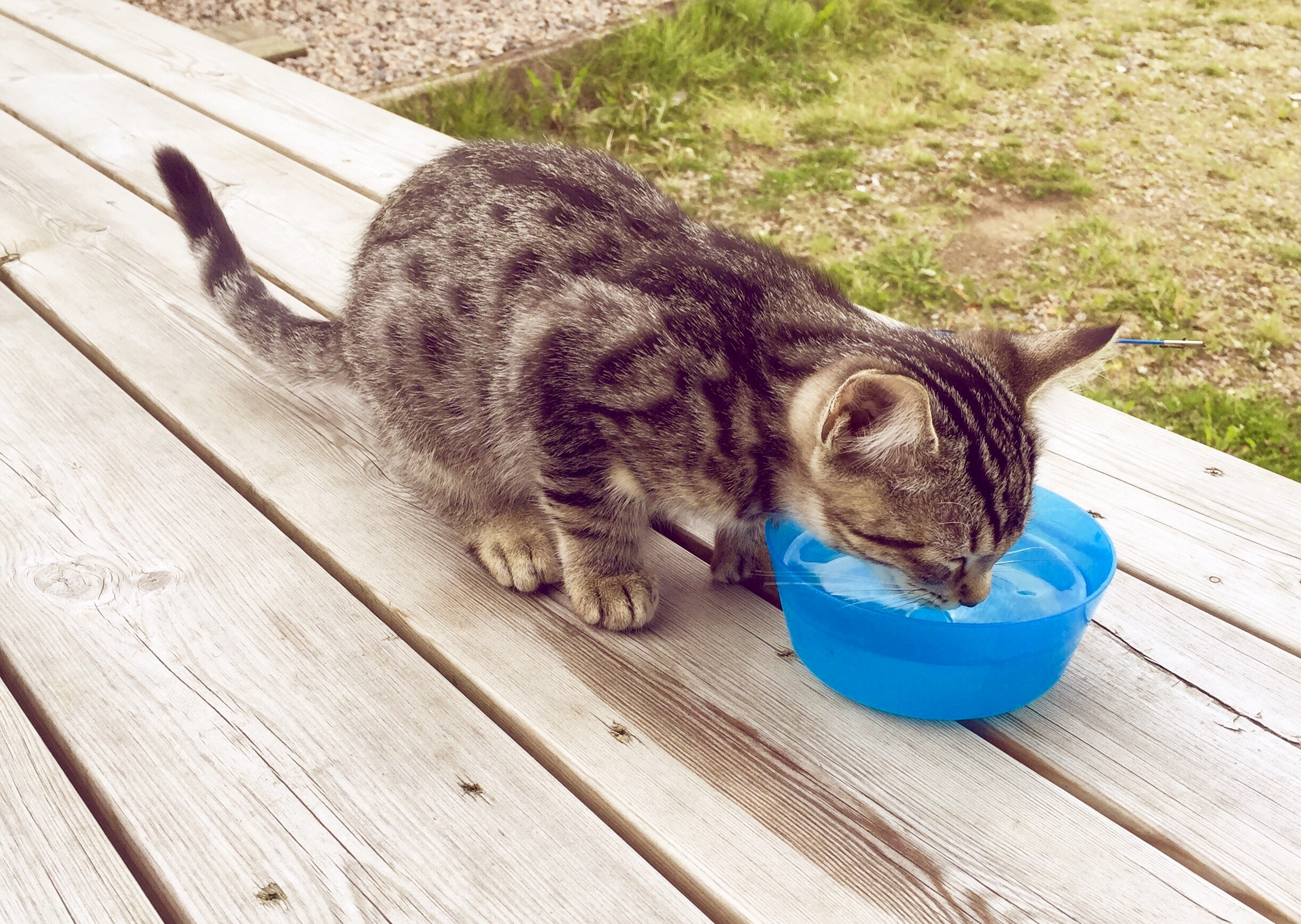 Free stock photo of cat, drinking, drinking water