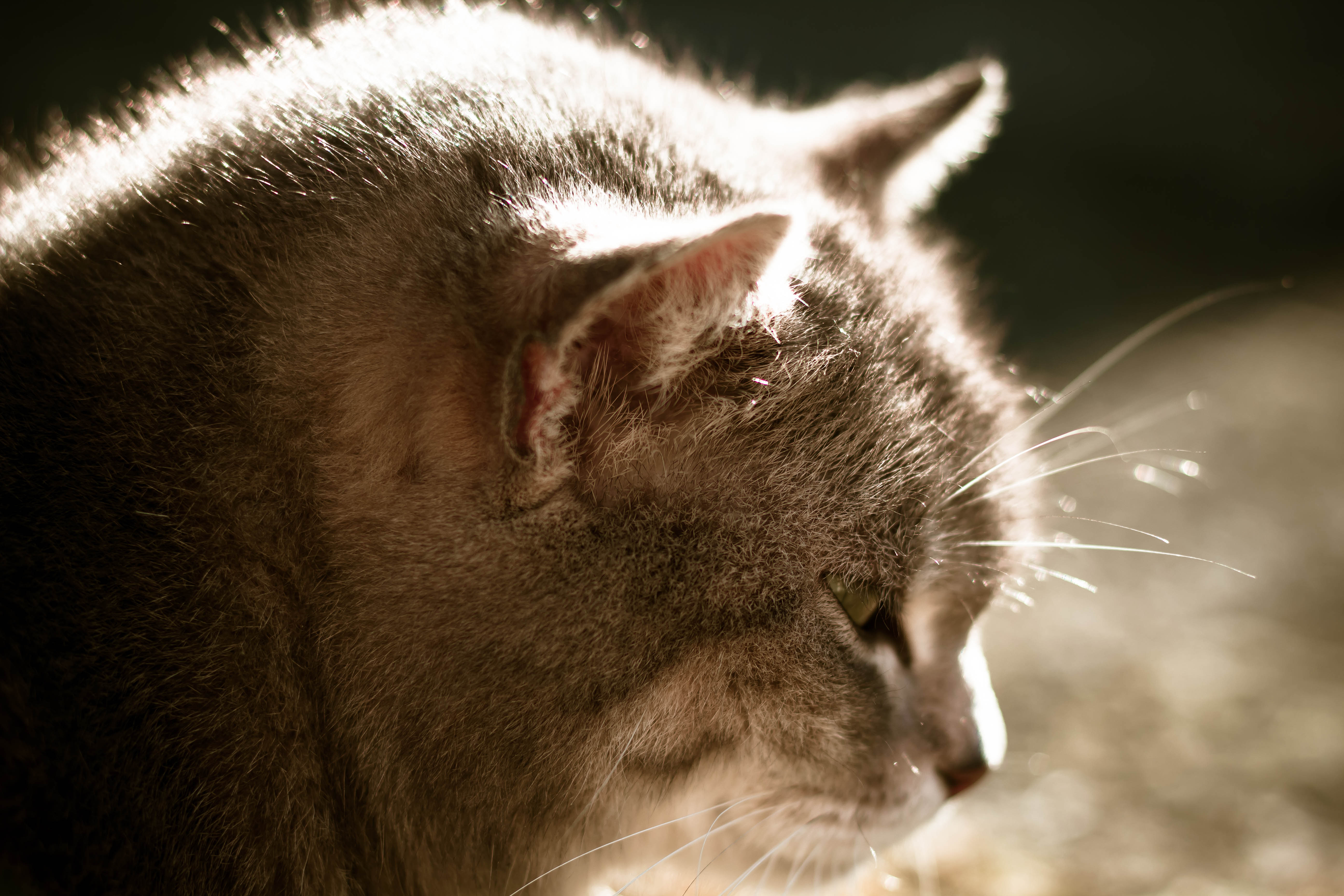 Cat in the sun, Cat, Feline, Fur, Head, HQ Photo